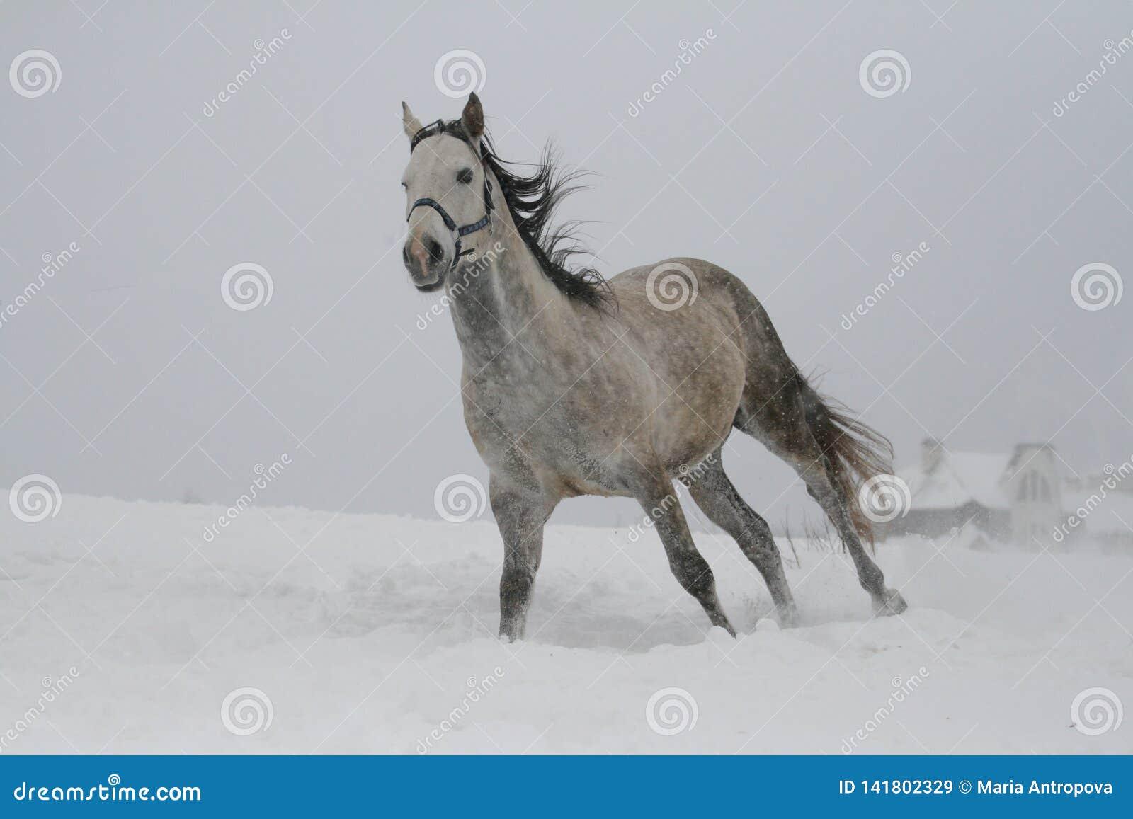 Grå färghästen galopperar på en snölutningskulle i vinter
