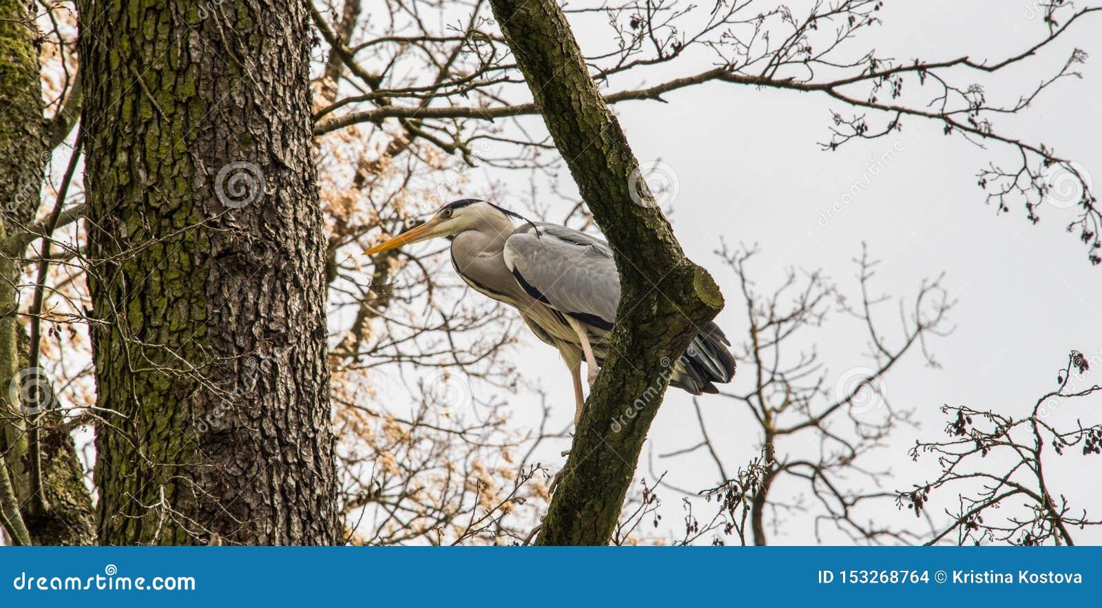 Grå häger på en trädfilial