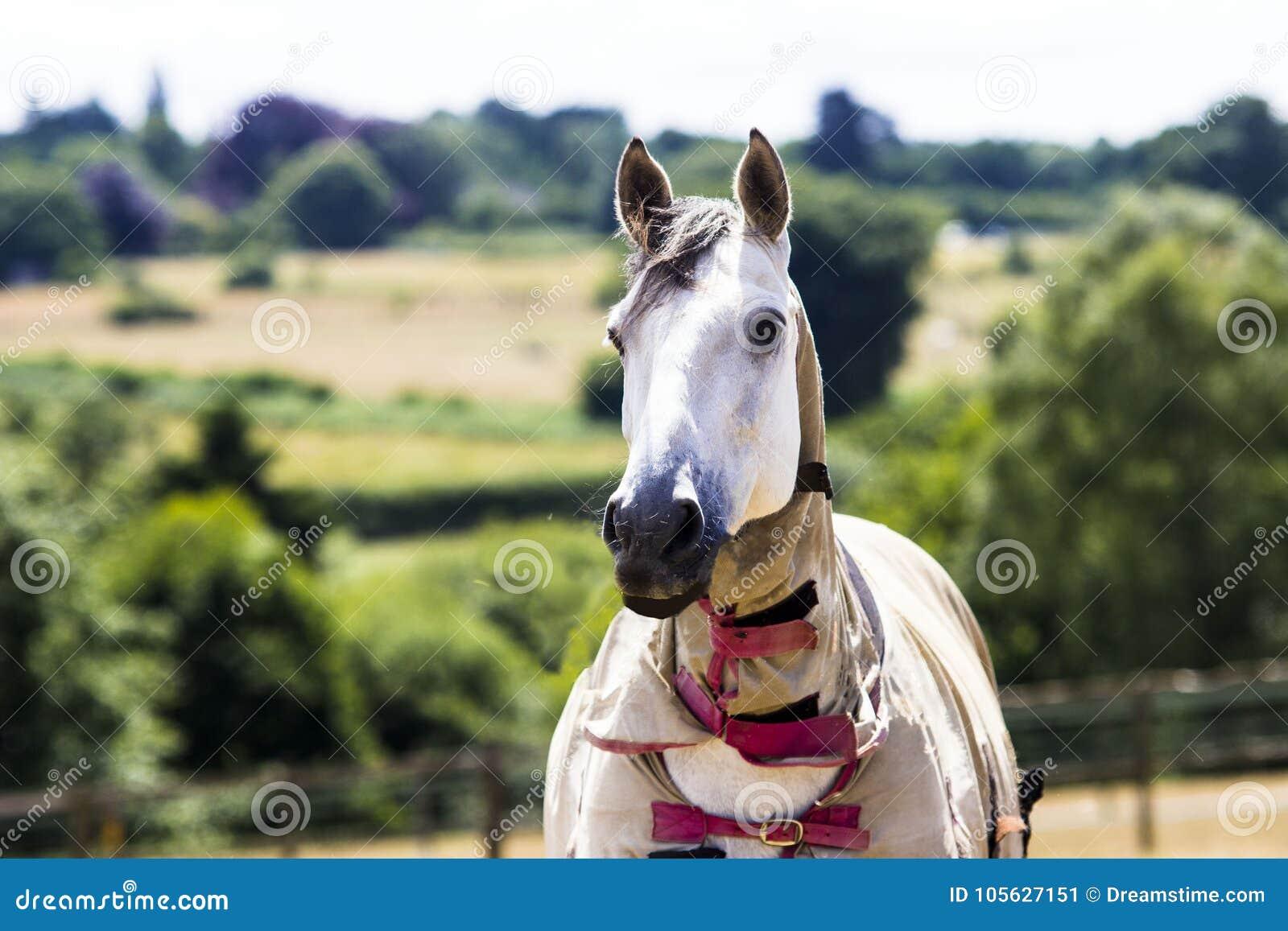 Grå häst i fält i sommar