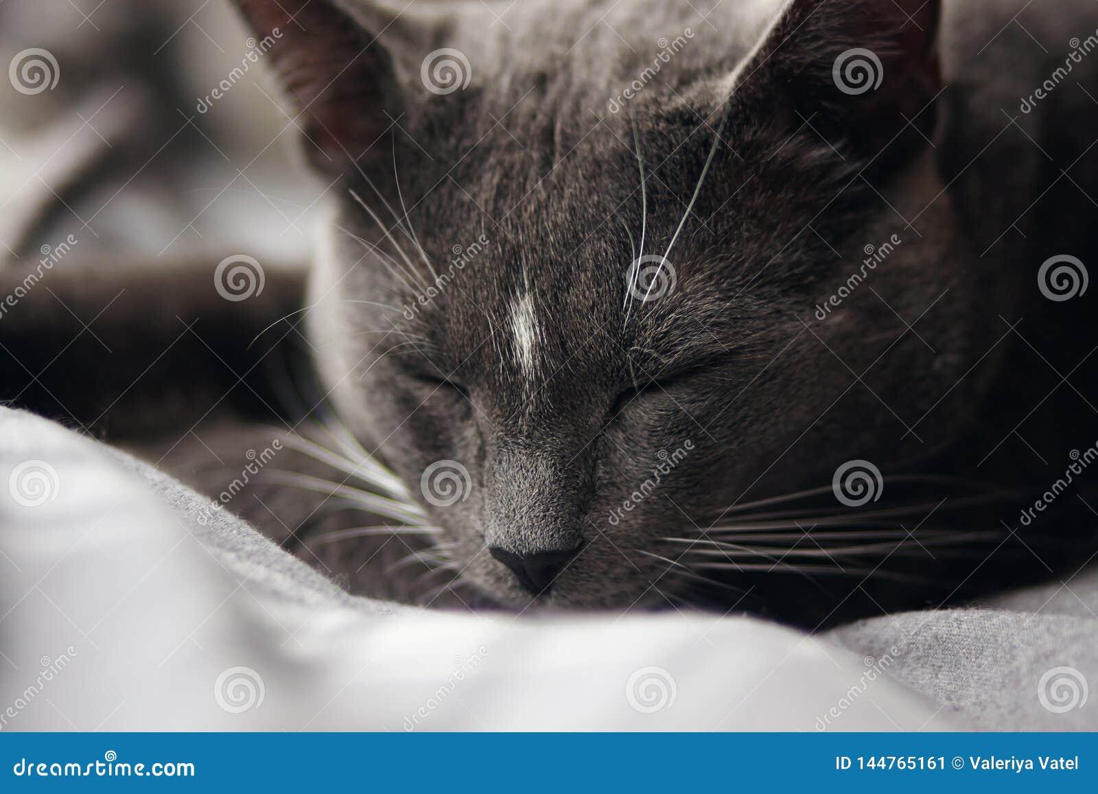 Grå hem- gullig katt som soundly sover