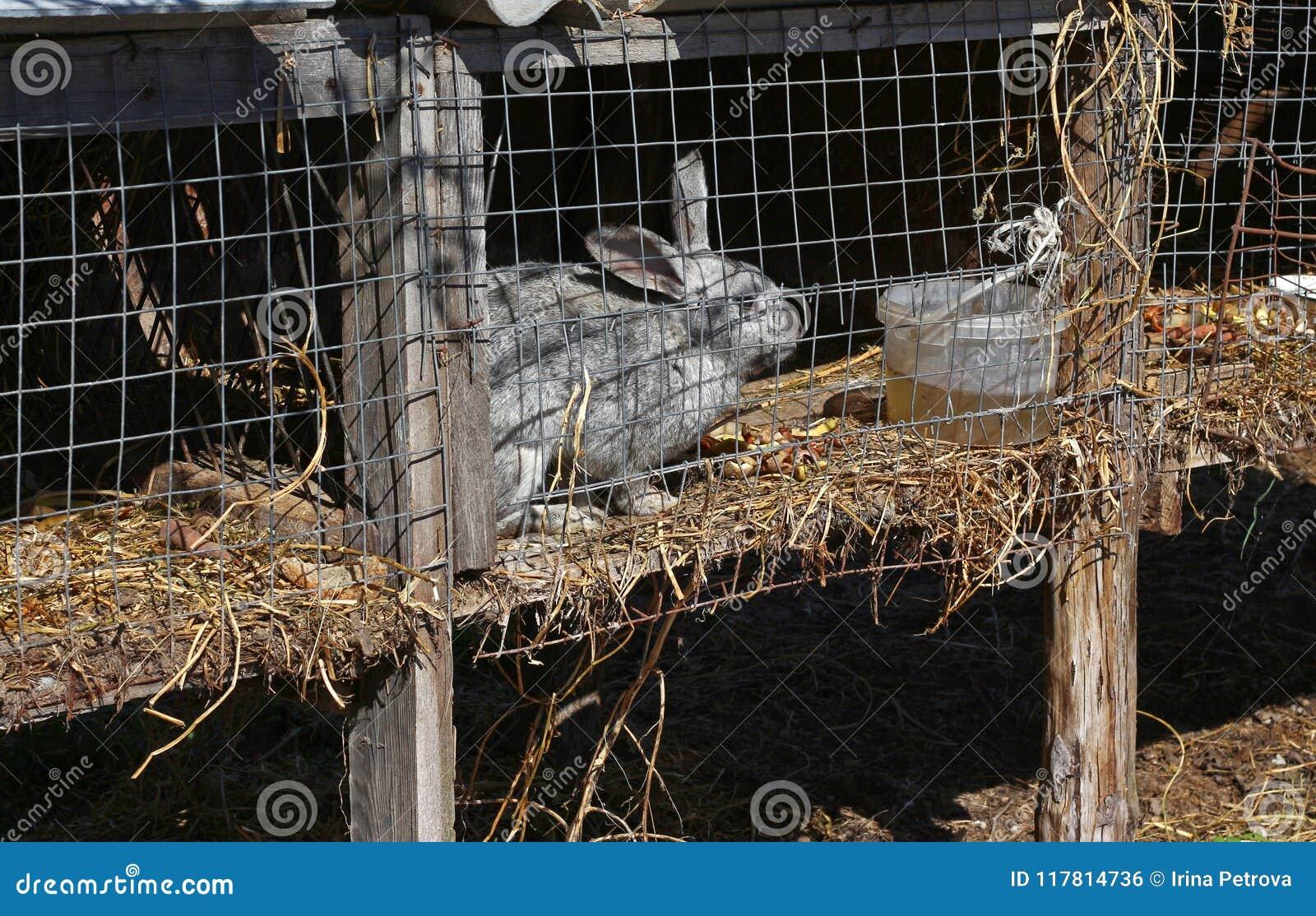 Grå kanin i en bur på lantgården