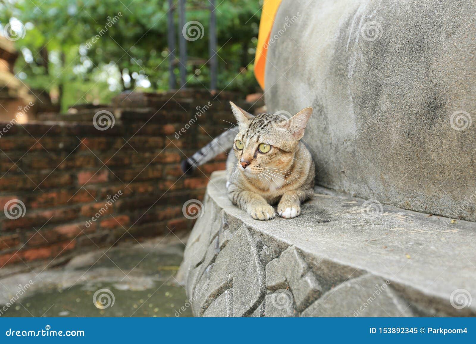 Grå katt med gula ögon i tempel