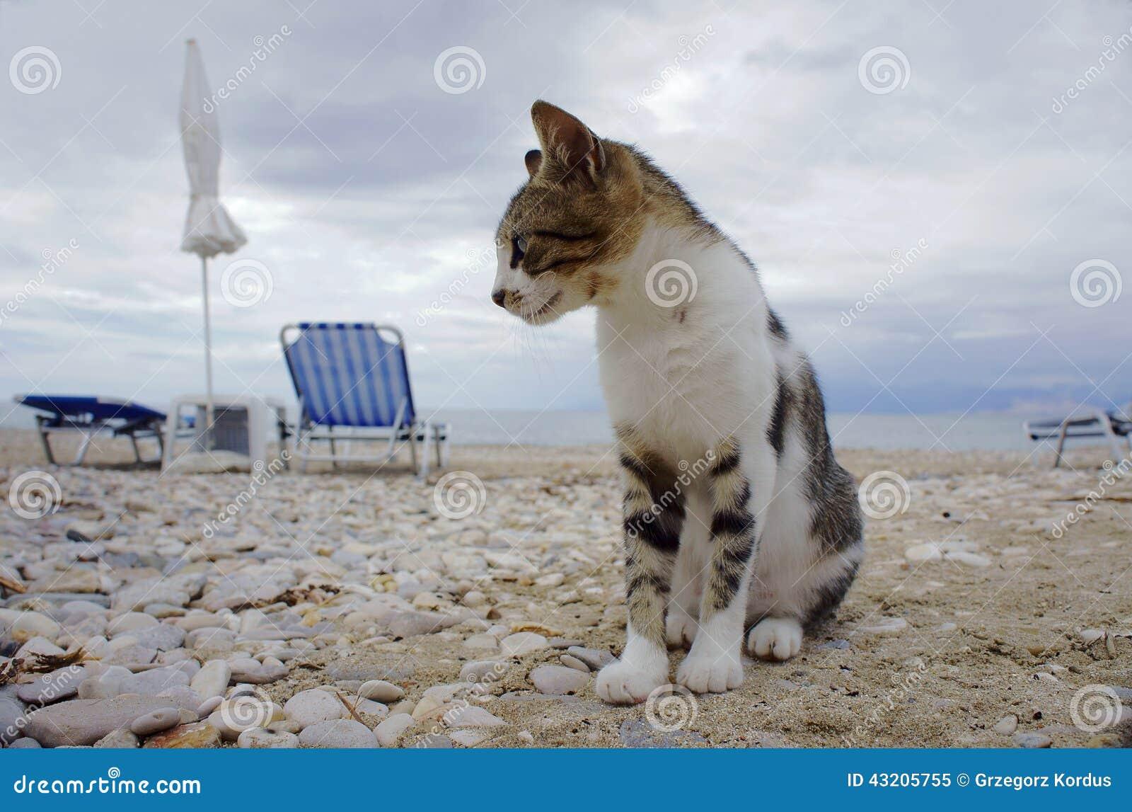 Download Grå katt på stranden fotografering för bildbyråer. Bild av grått - 43205755