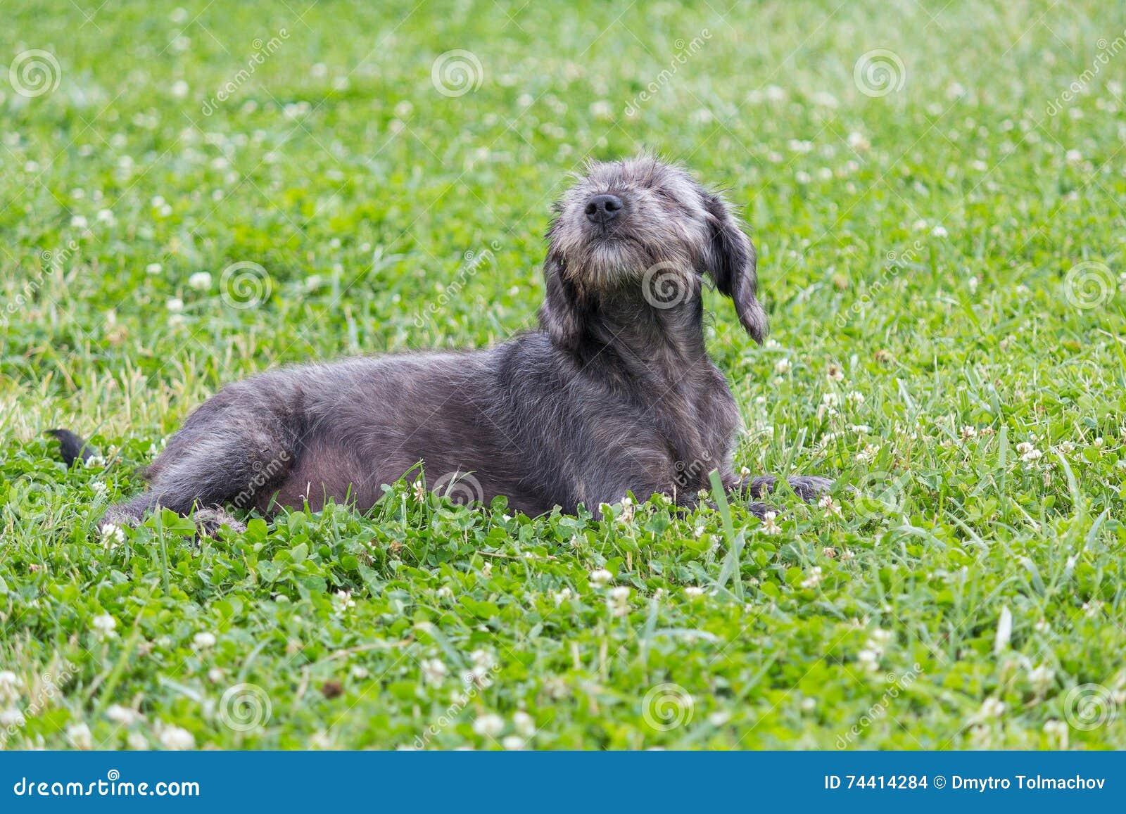 Grå lurvig hund som ligger på gräset