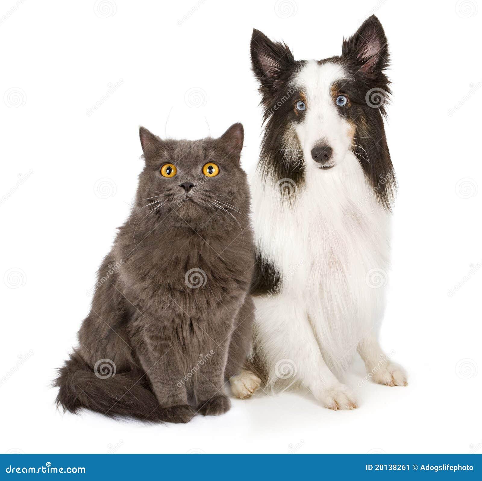 Grå sheepdog shetland för katt