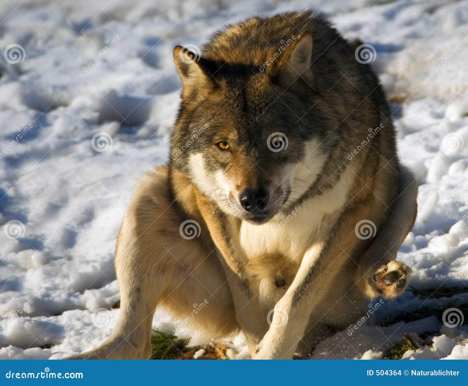 Grå snowwolf