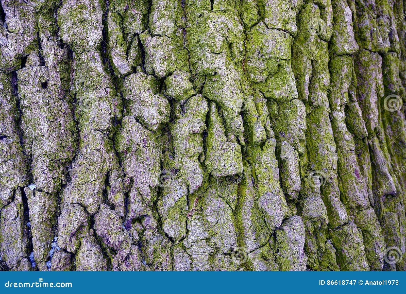 Grå wood textur på den gamla skorpan