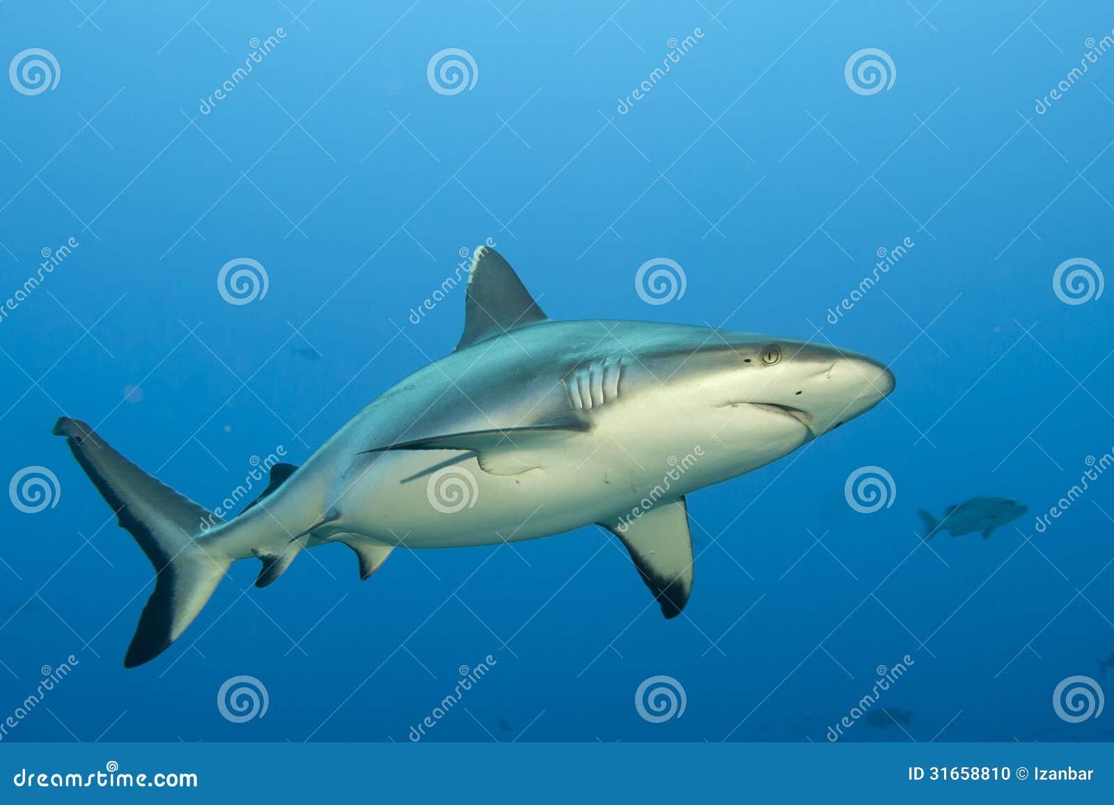 Gråa käkar för en haj som är klara att anfalla undervattens- slut upp ståenden