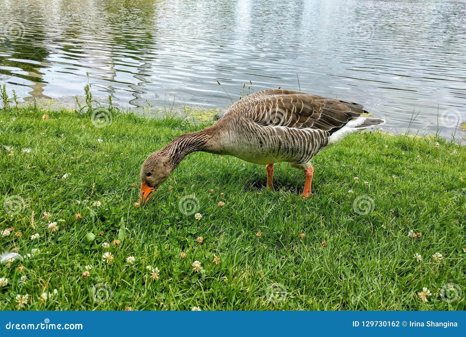Grågåsgåsen betar på gräset nära sjön och söker efter mat OS:en parkerar, Tyskland, Munich Grå färggås