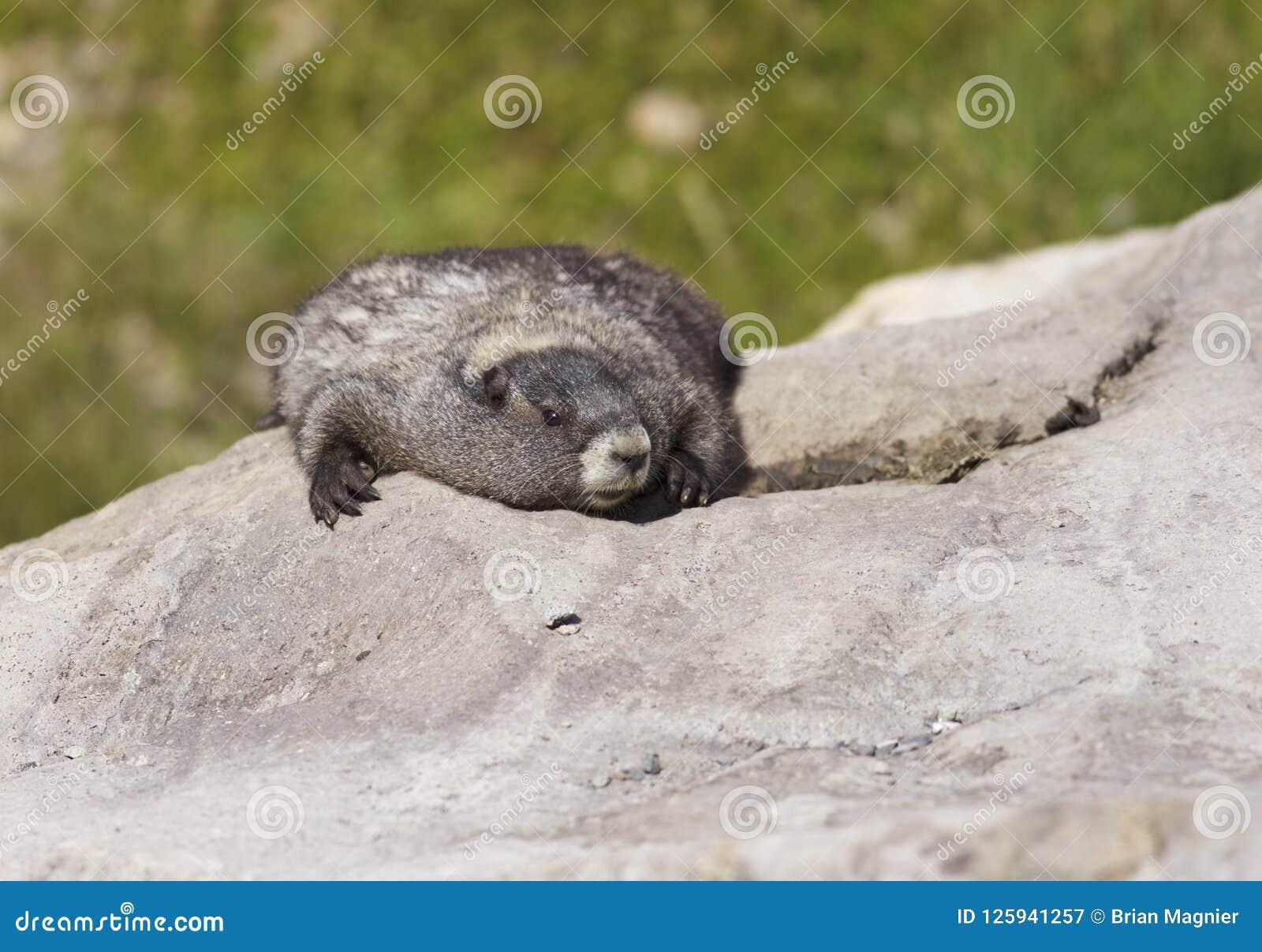 Grånad murmeldjur på mer regnig Mt