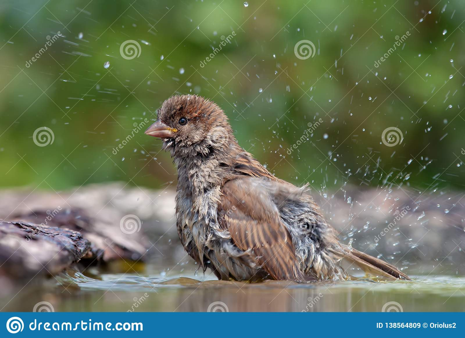 Gråsparven tvättar sig med droppar av vatten omkring