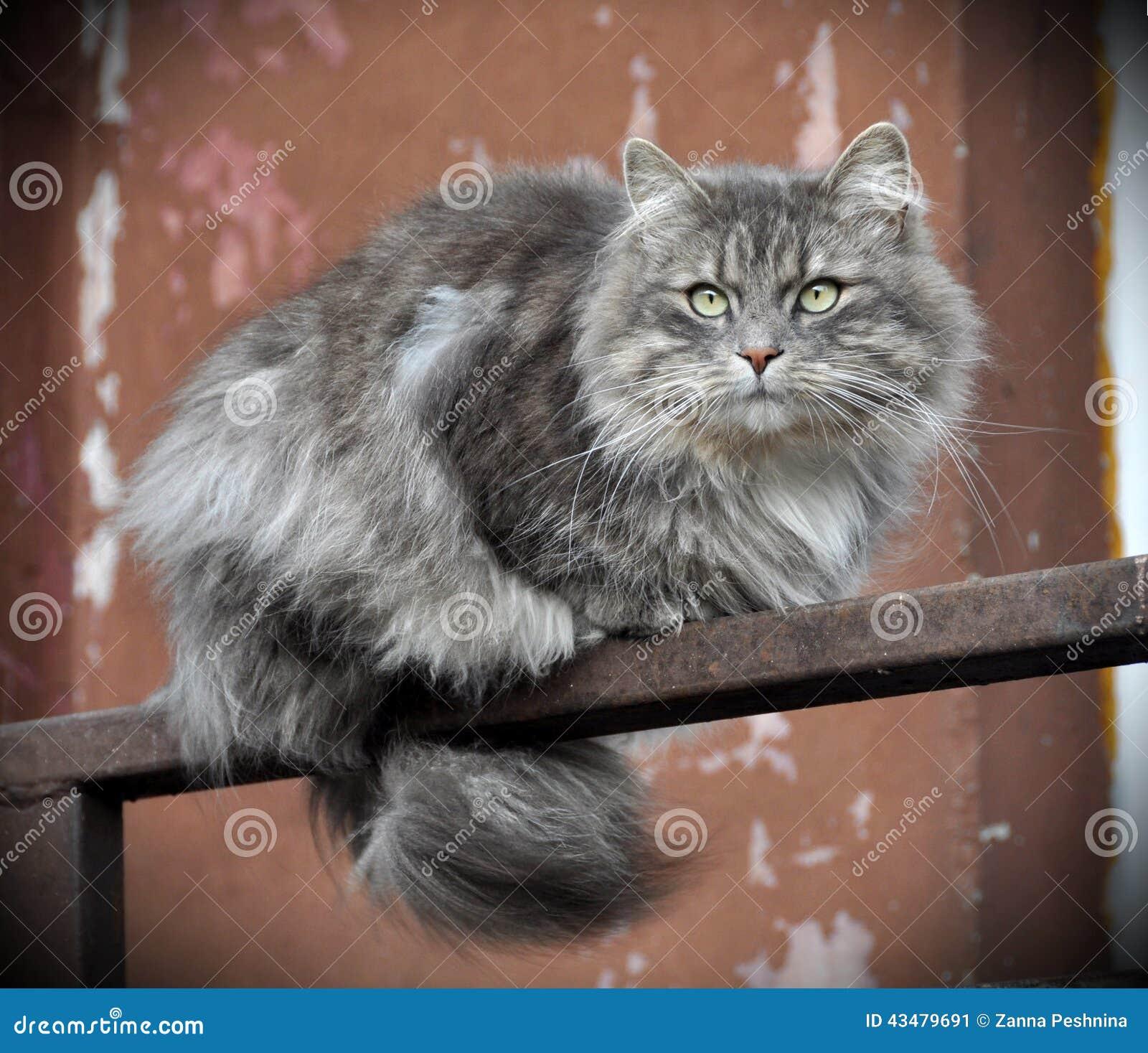 GRÅTT FLUFFIGT kattsammanträde på balkongen