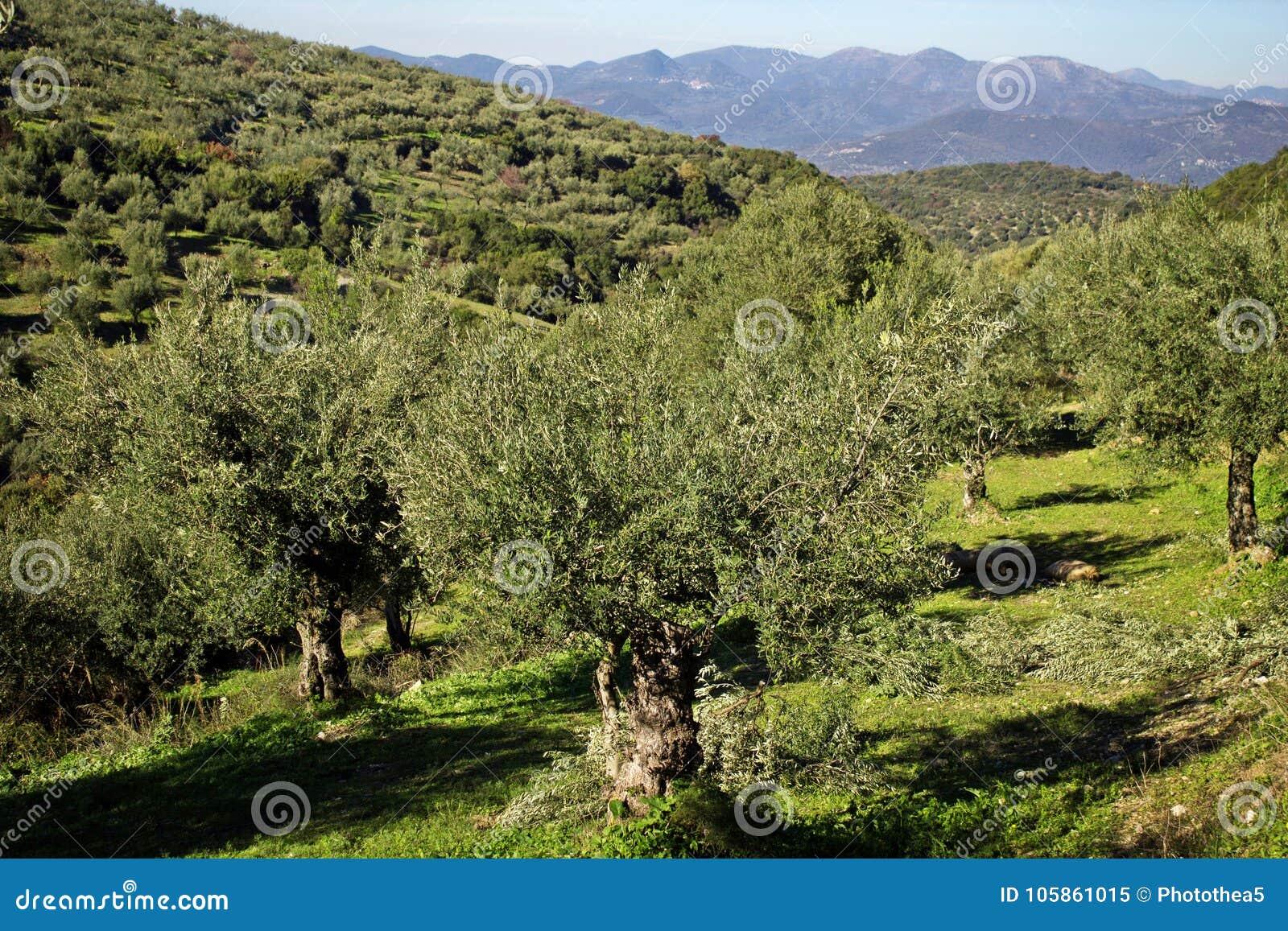 Grécia, bosque verde-oliva em Messinia montanhoso