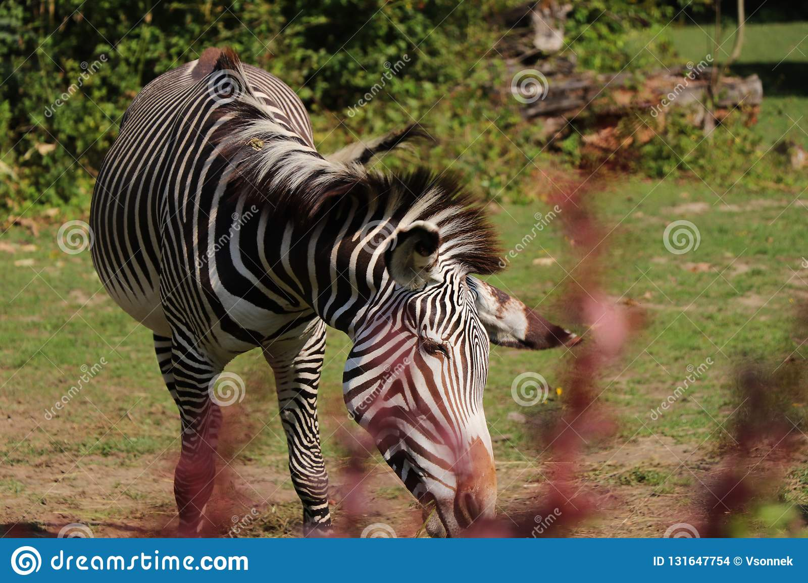 A Grévy`s zebra eating hay in the park. A beautiful animal with alternating black and white. Hot days in summer