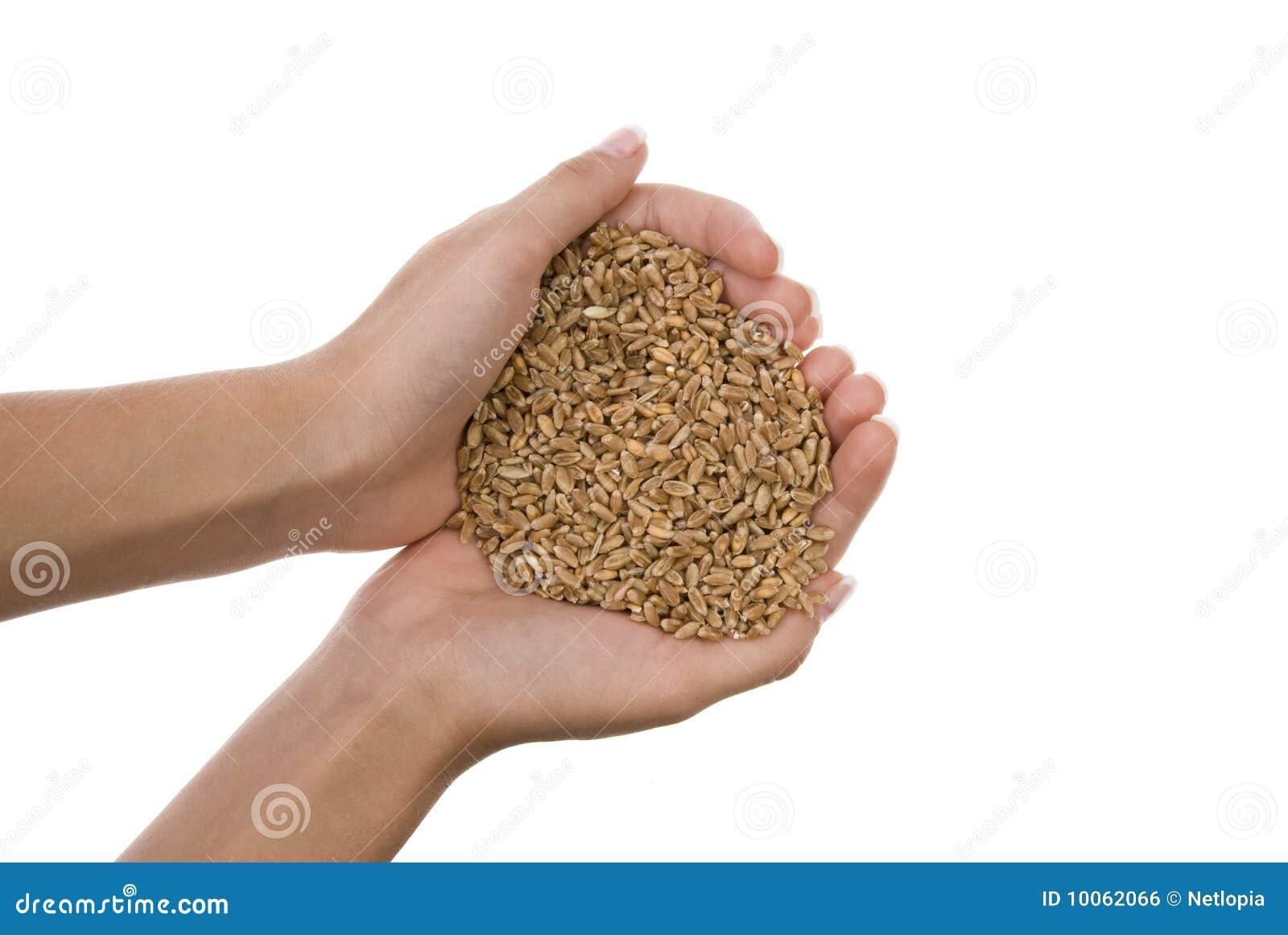 Grões do trigo