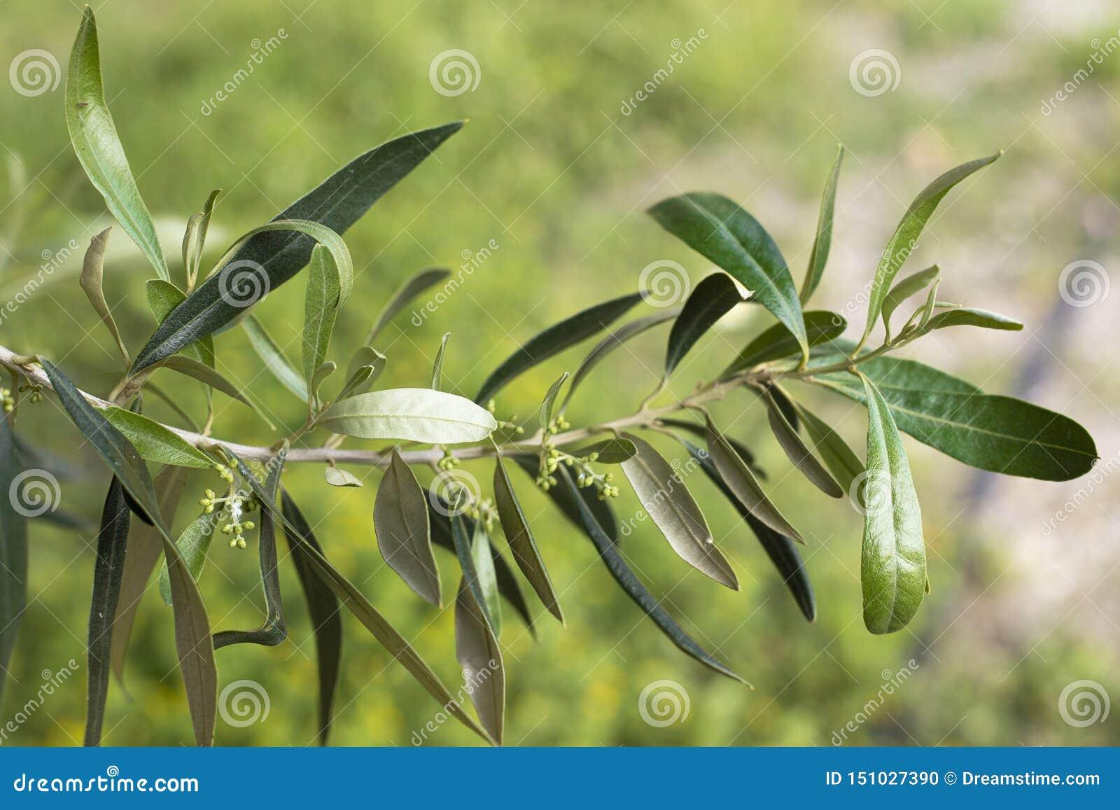 Grön bakgrund för suddighet för filialolivträdblomma