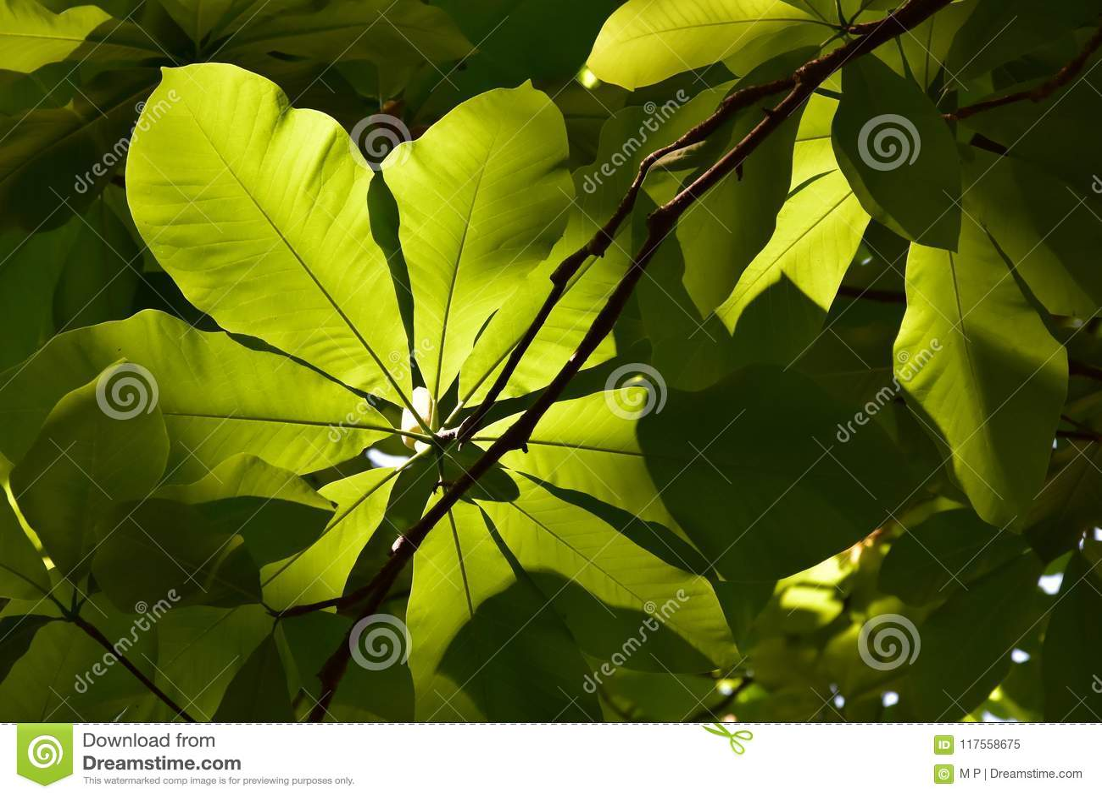 Grön bladbokträd