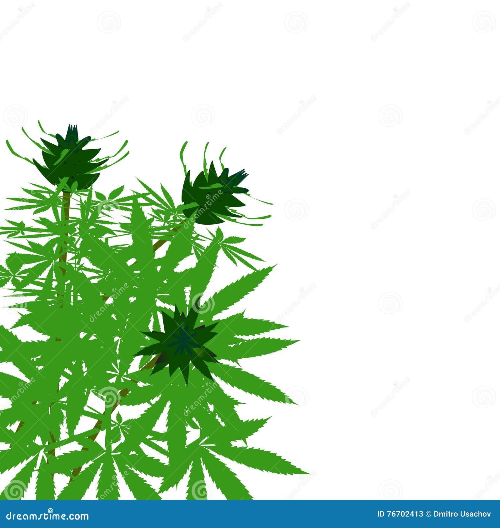Grön buske av hampa