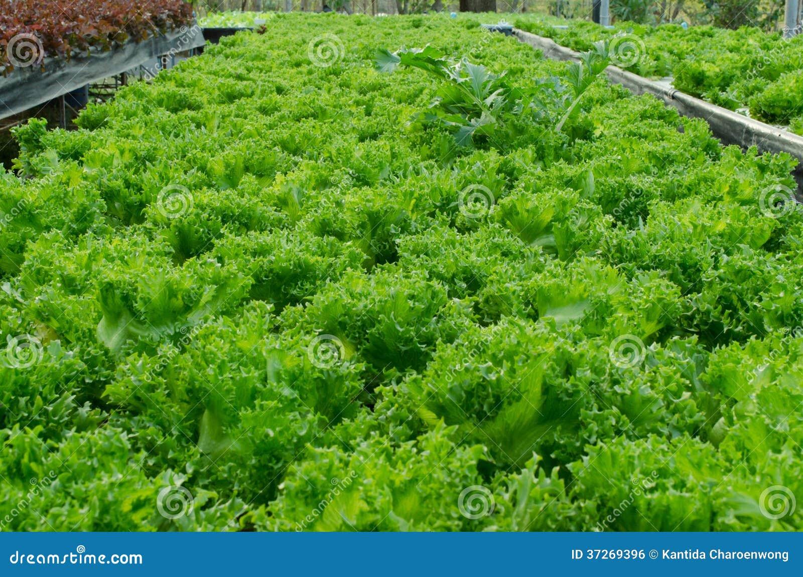 Grön ekgrönsallat