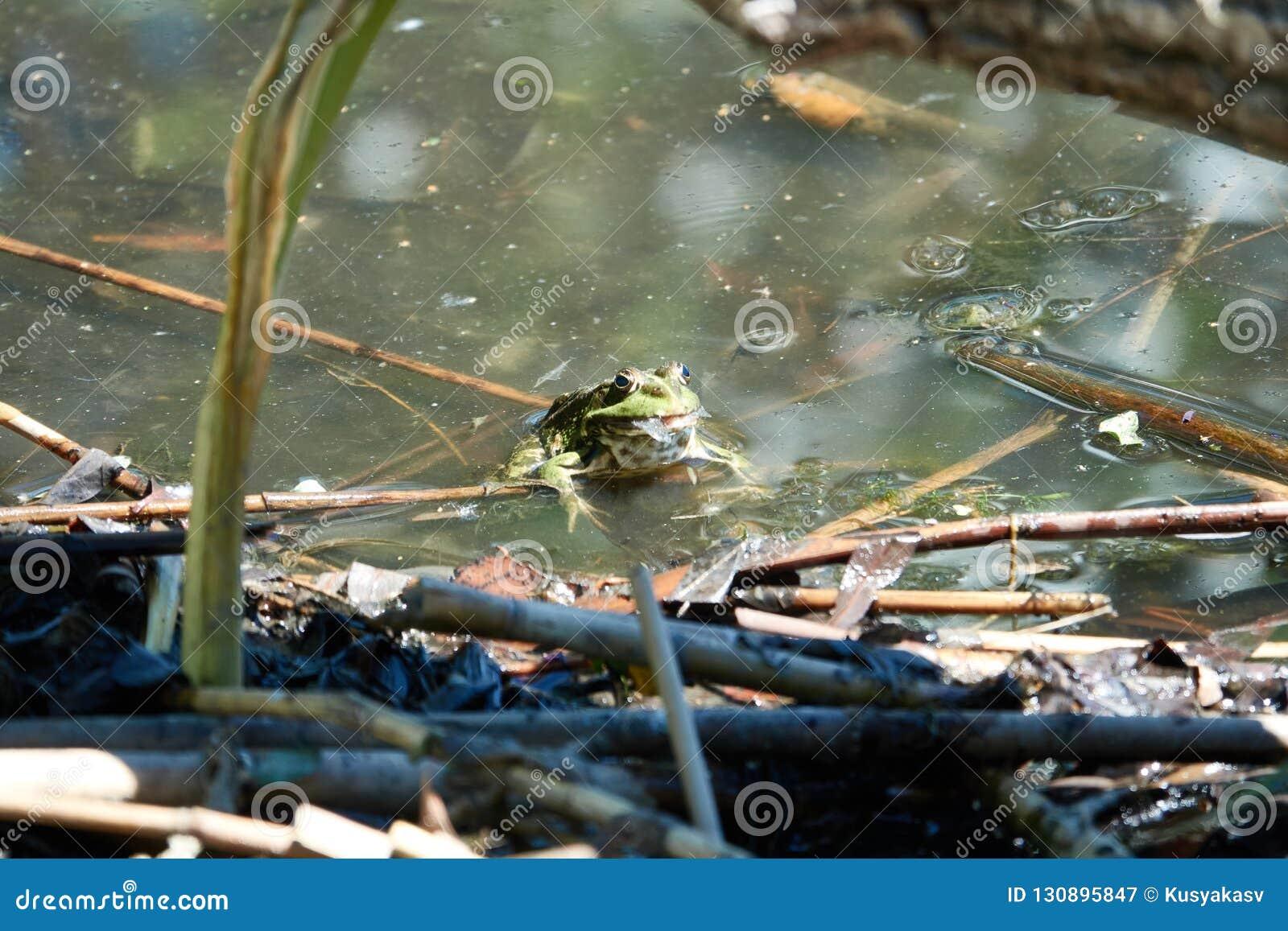 Grön groda i en flod med algen