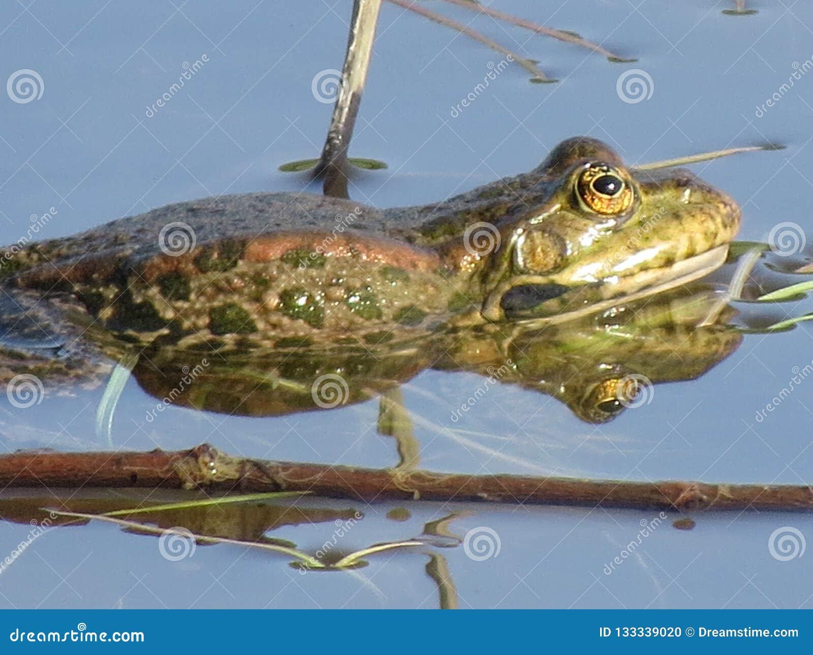 Grön groda som doppas delvist i vatten, på bakgrunden av alger