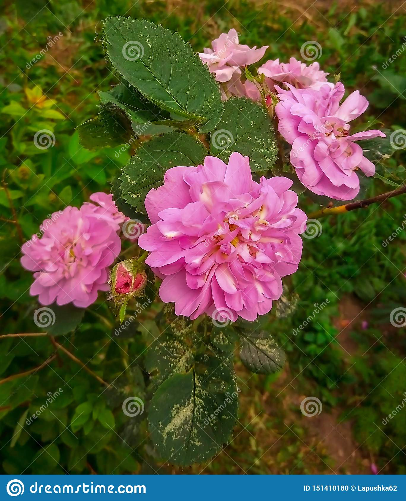 Grön härlig rosa rosa sammer
