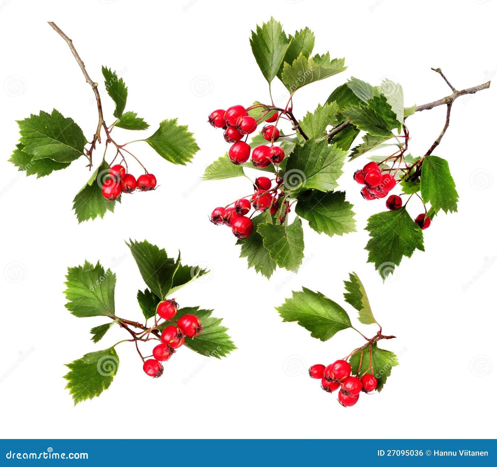 Grön hagtorn branches röda bär