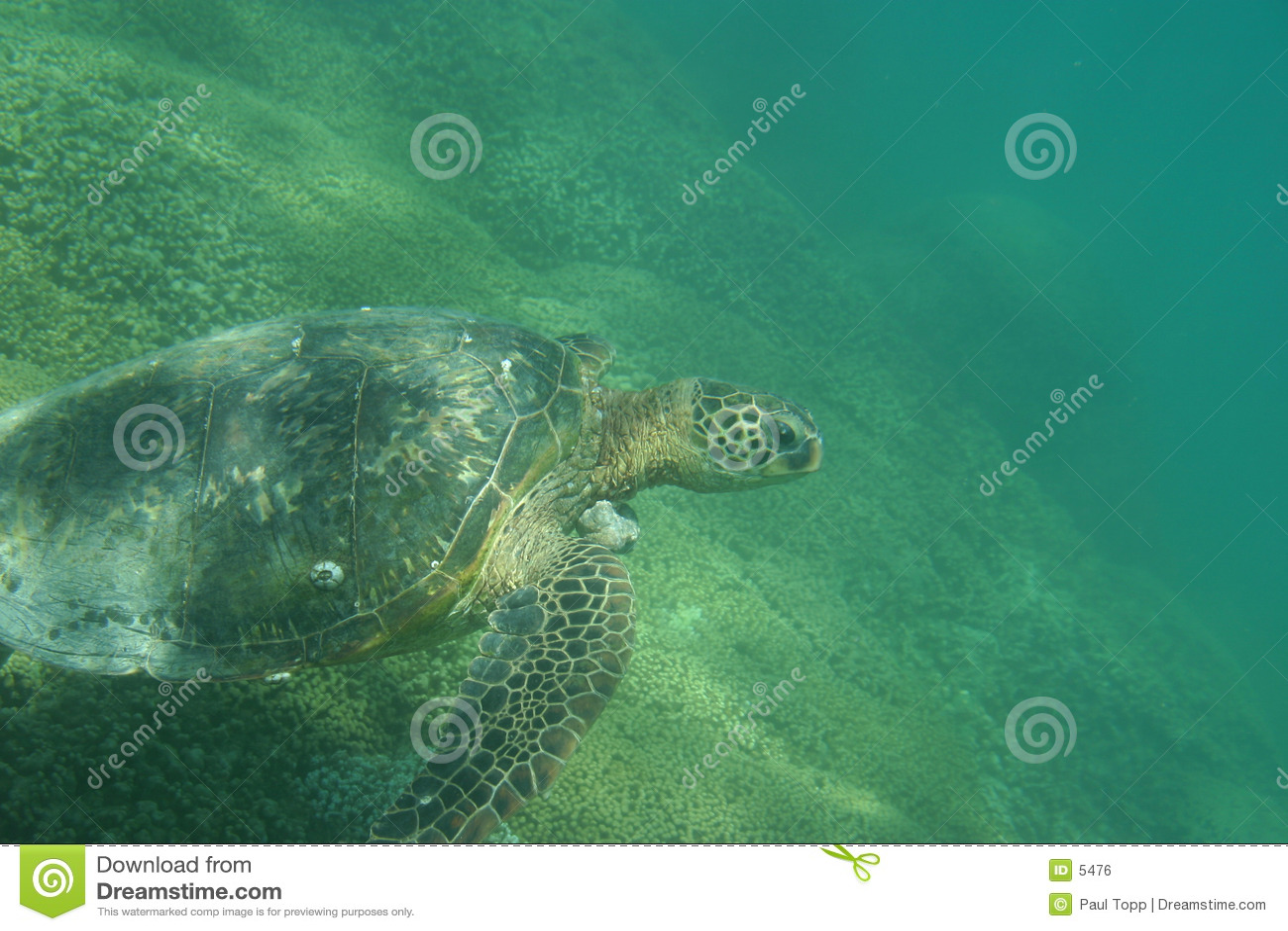Grön hawaiansk havssköldpadda