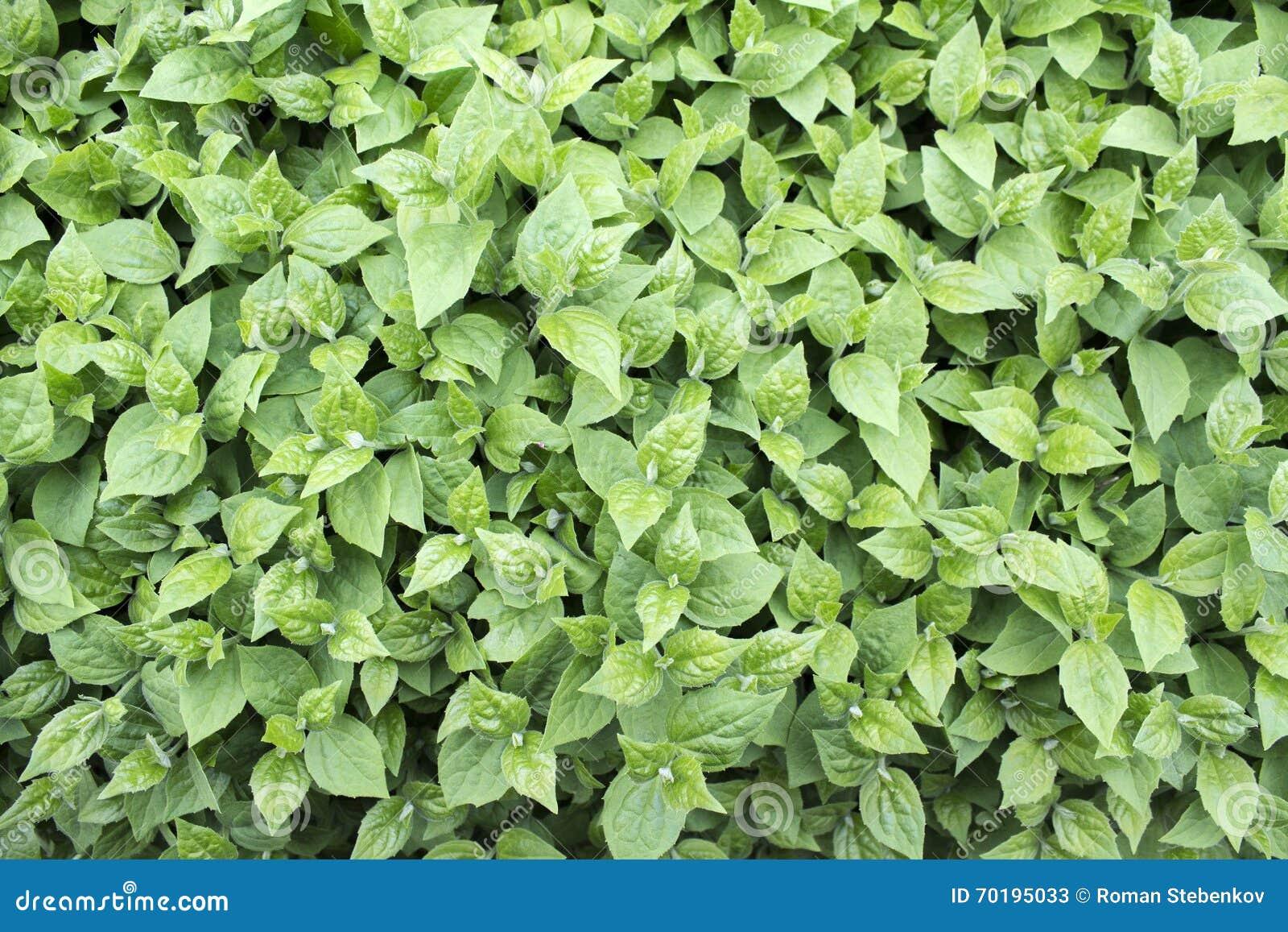 Grön lövverk för vår