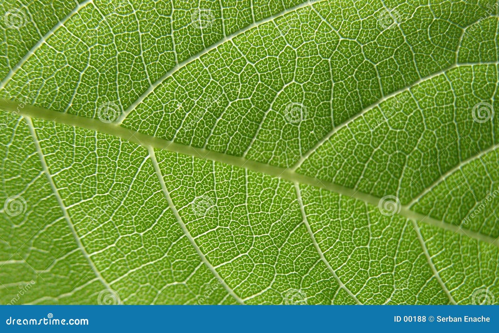 Grön leaf för 4 closeup