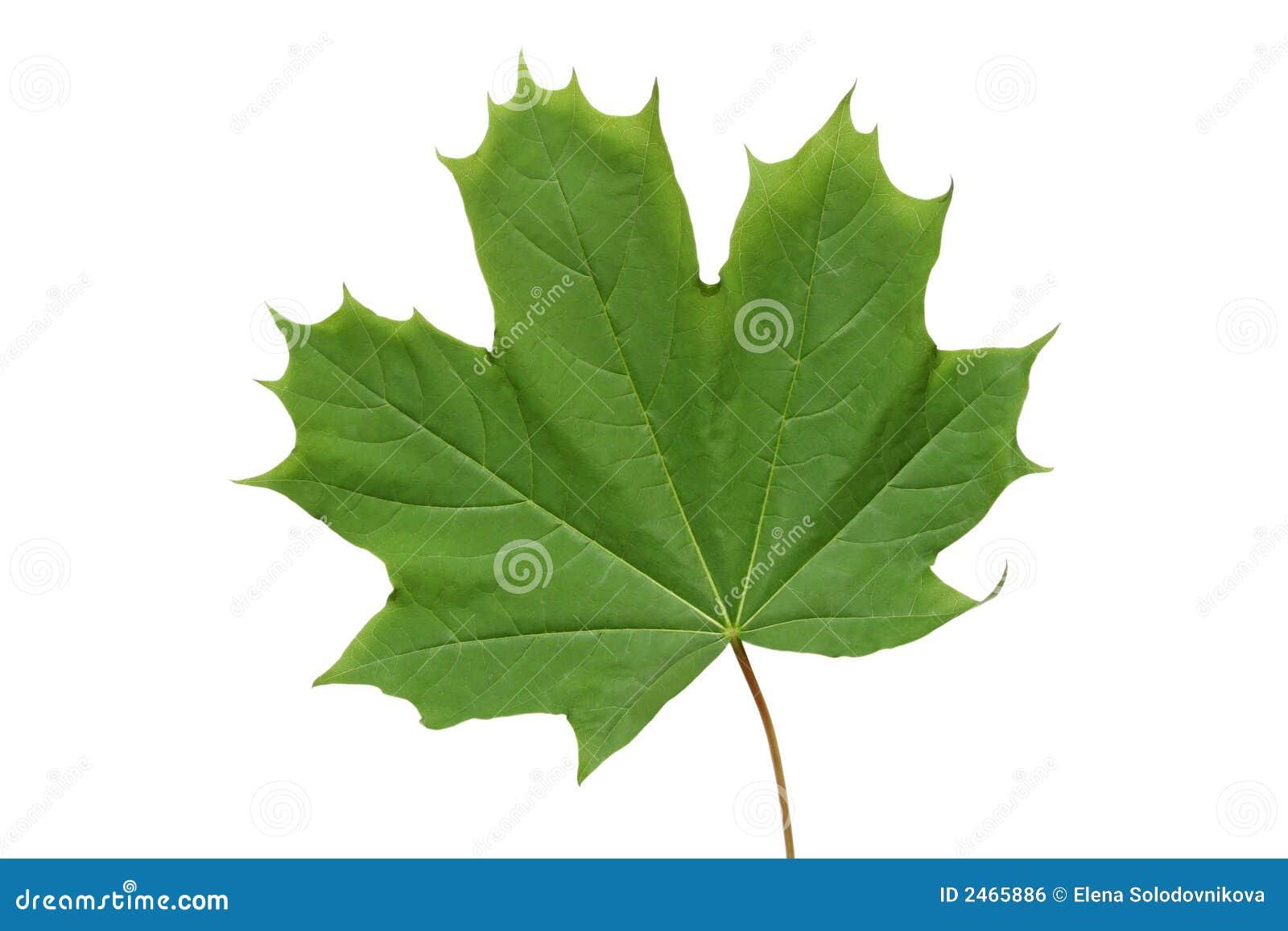 Grön leaflönn