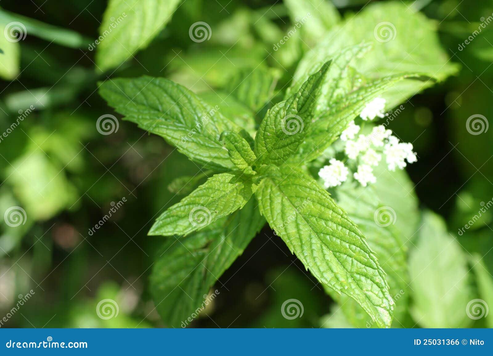 Grön leafmint