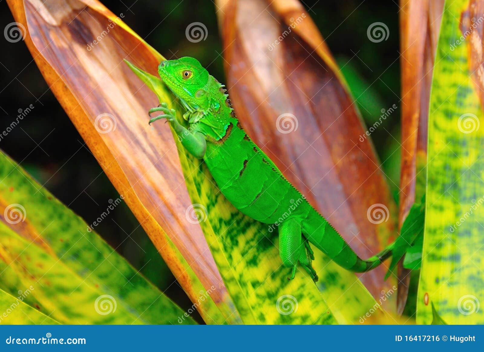 Grön leguanrica för costa