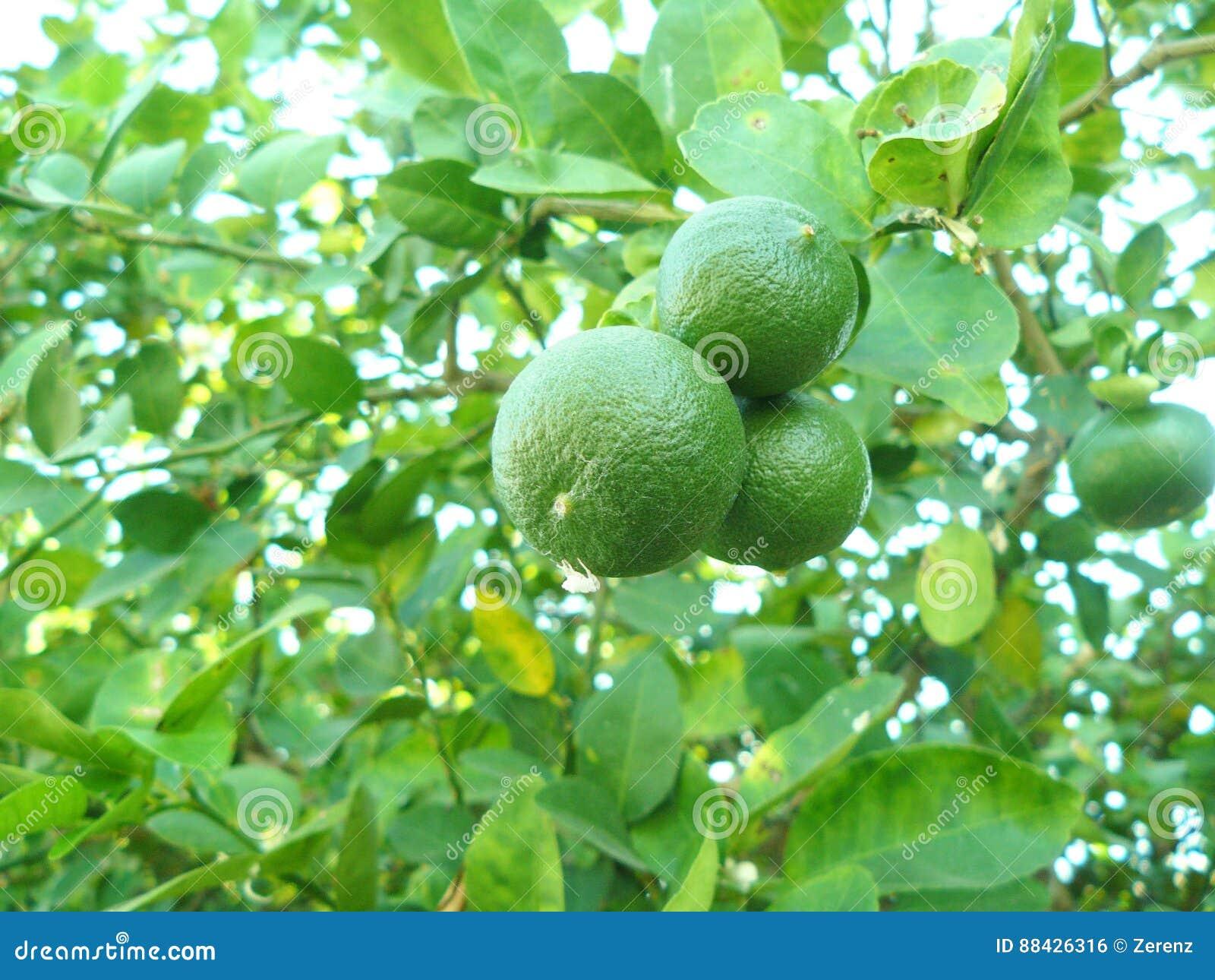 Grön limefrukt på träd
