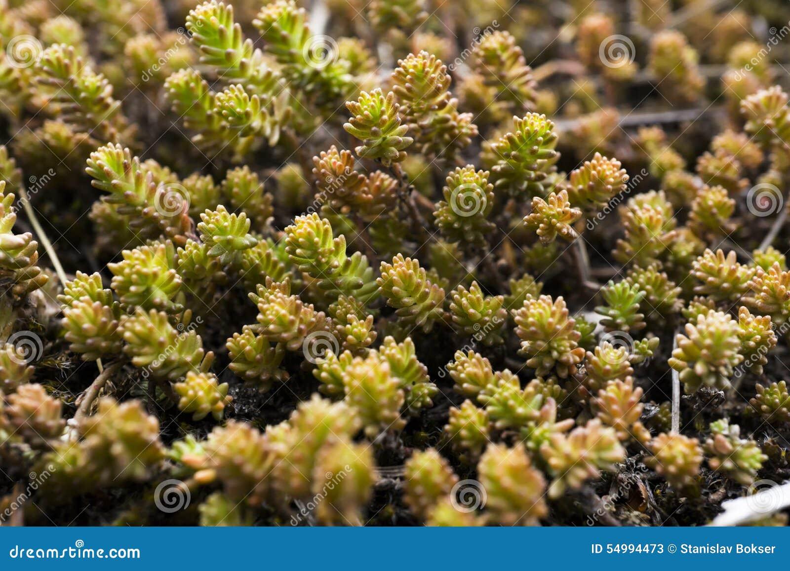 Grön moss