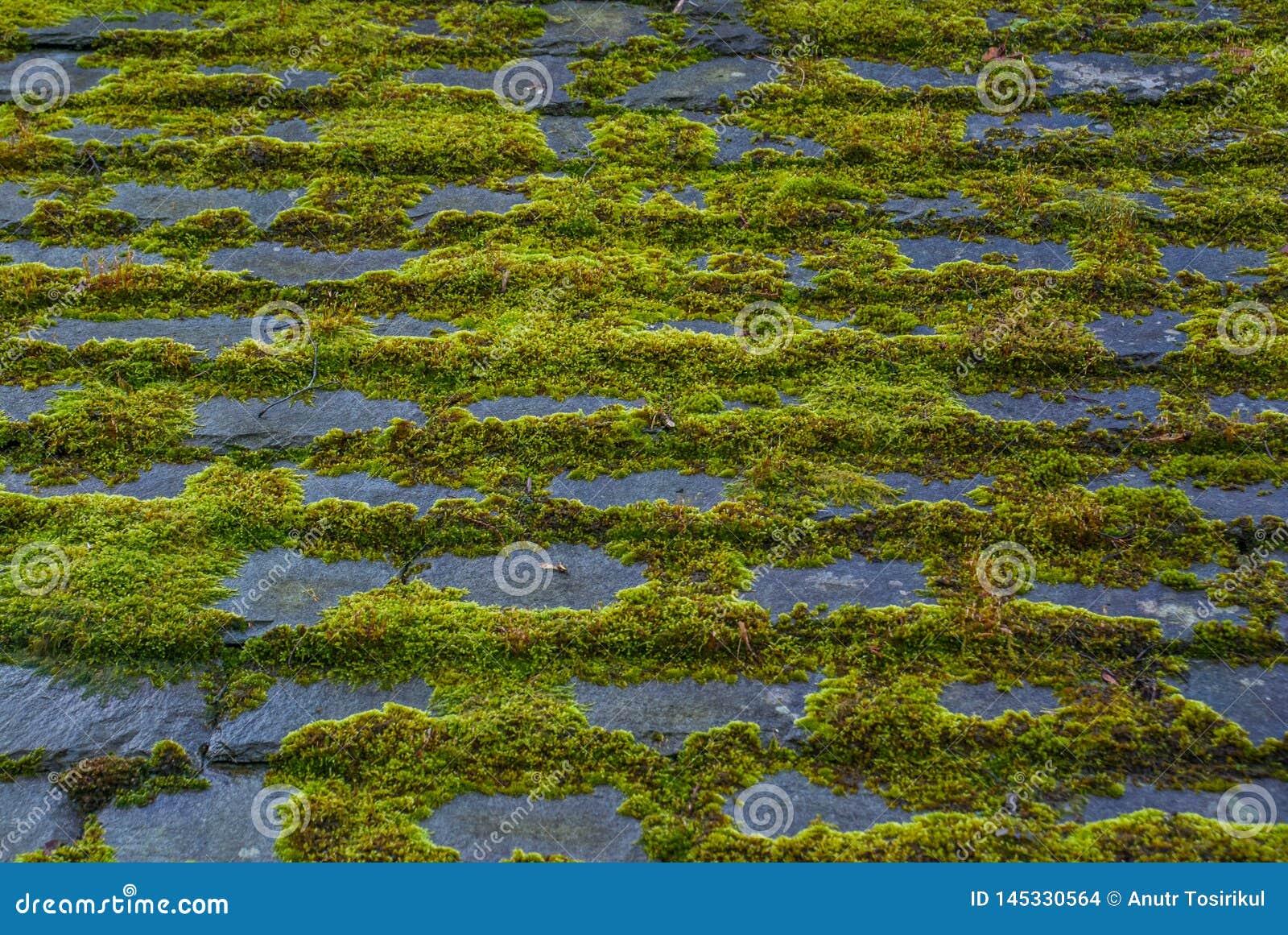 Grön mossa på ett tak, bild