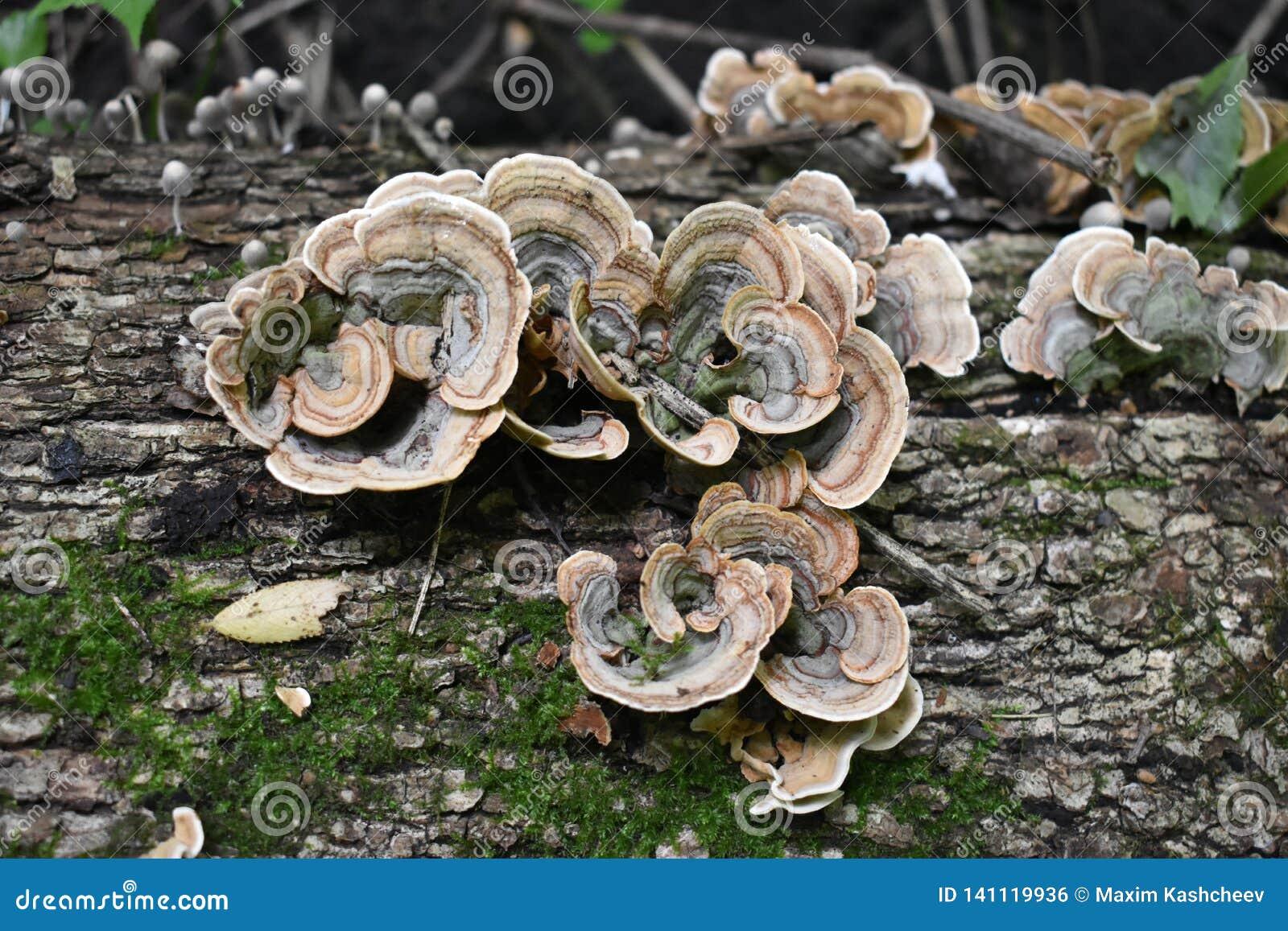 Grön och brun champinjon på den gamla träjournalen Grupp av champinjoner som växer i Autumn Forest nära gammal journal Champinjon