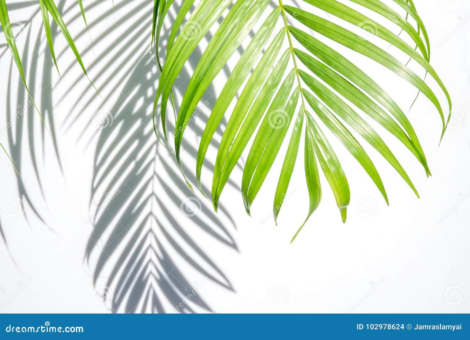 Grön palmblad och skugga på en vit bakgrund