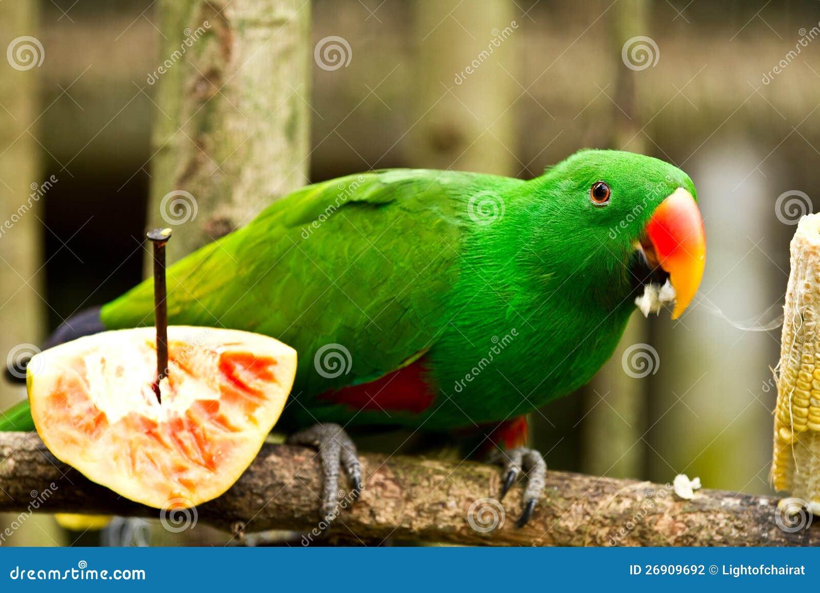Grön parot äter havre