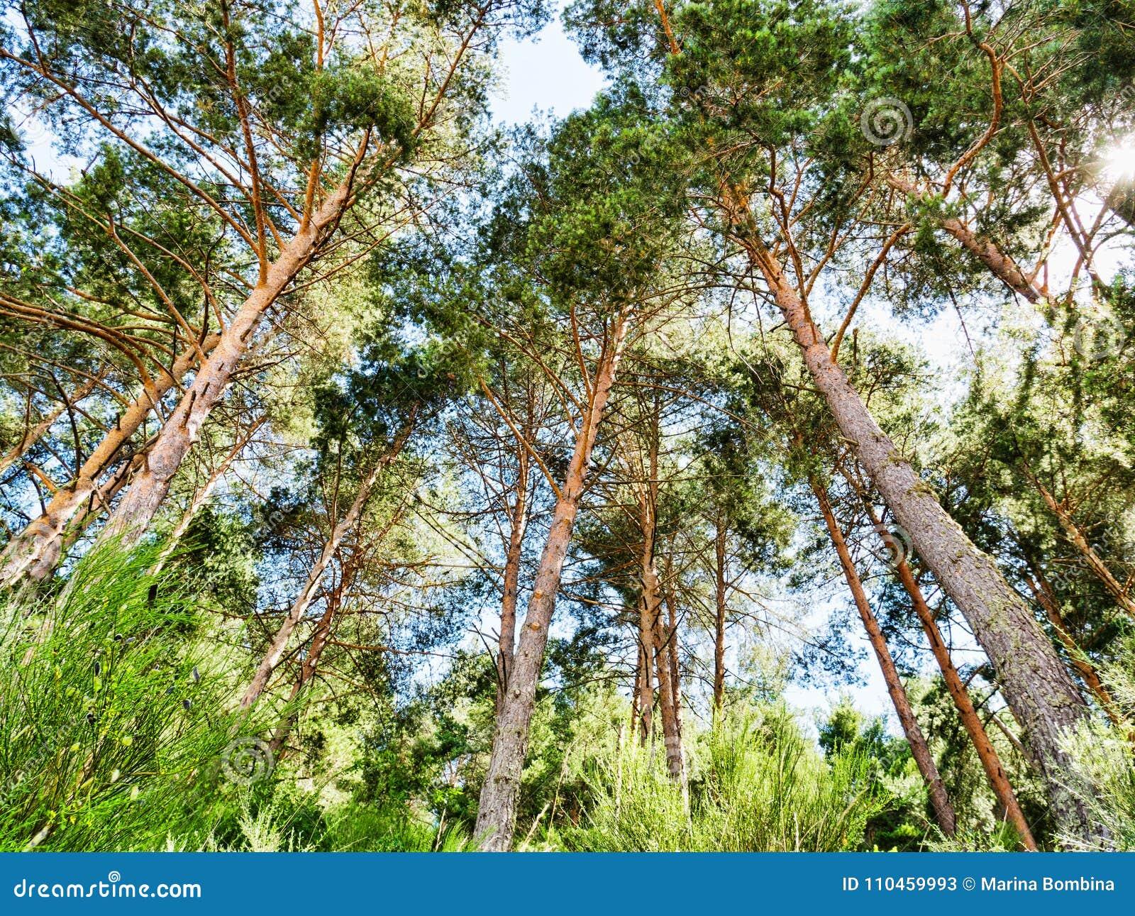 Grön pinjeskogbakgrund i solig dag