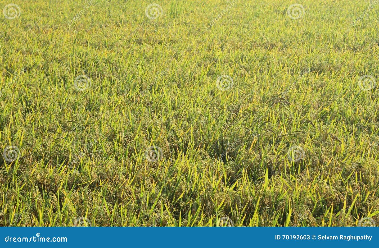 Grön rice för fält