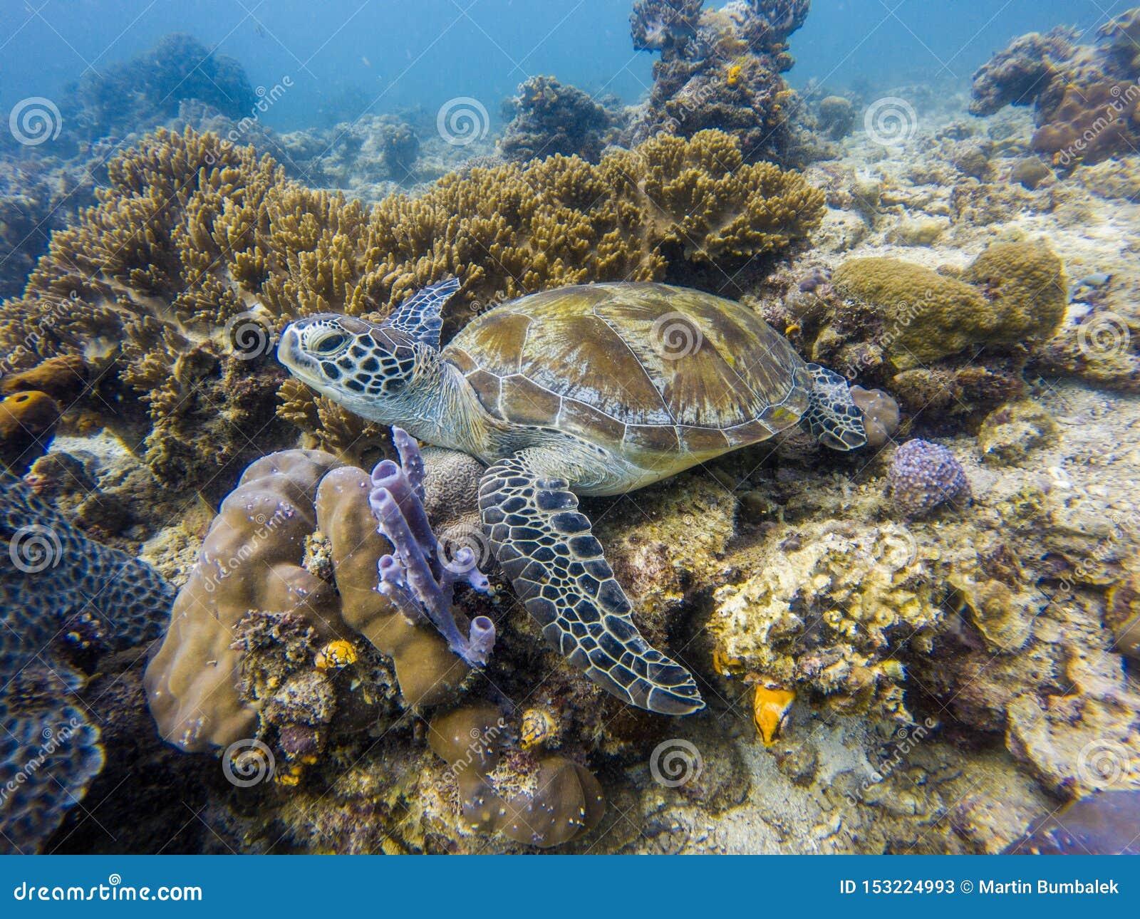 Grön sköldpadda i havet