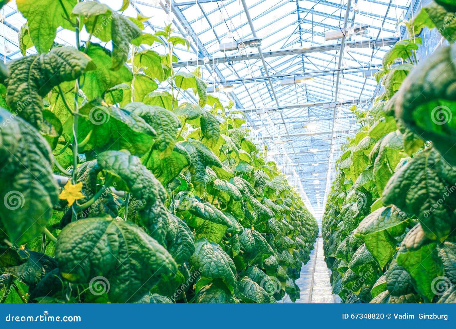 Grön skörd i modernt växthus