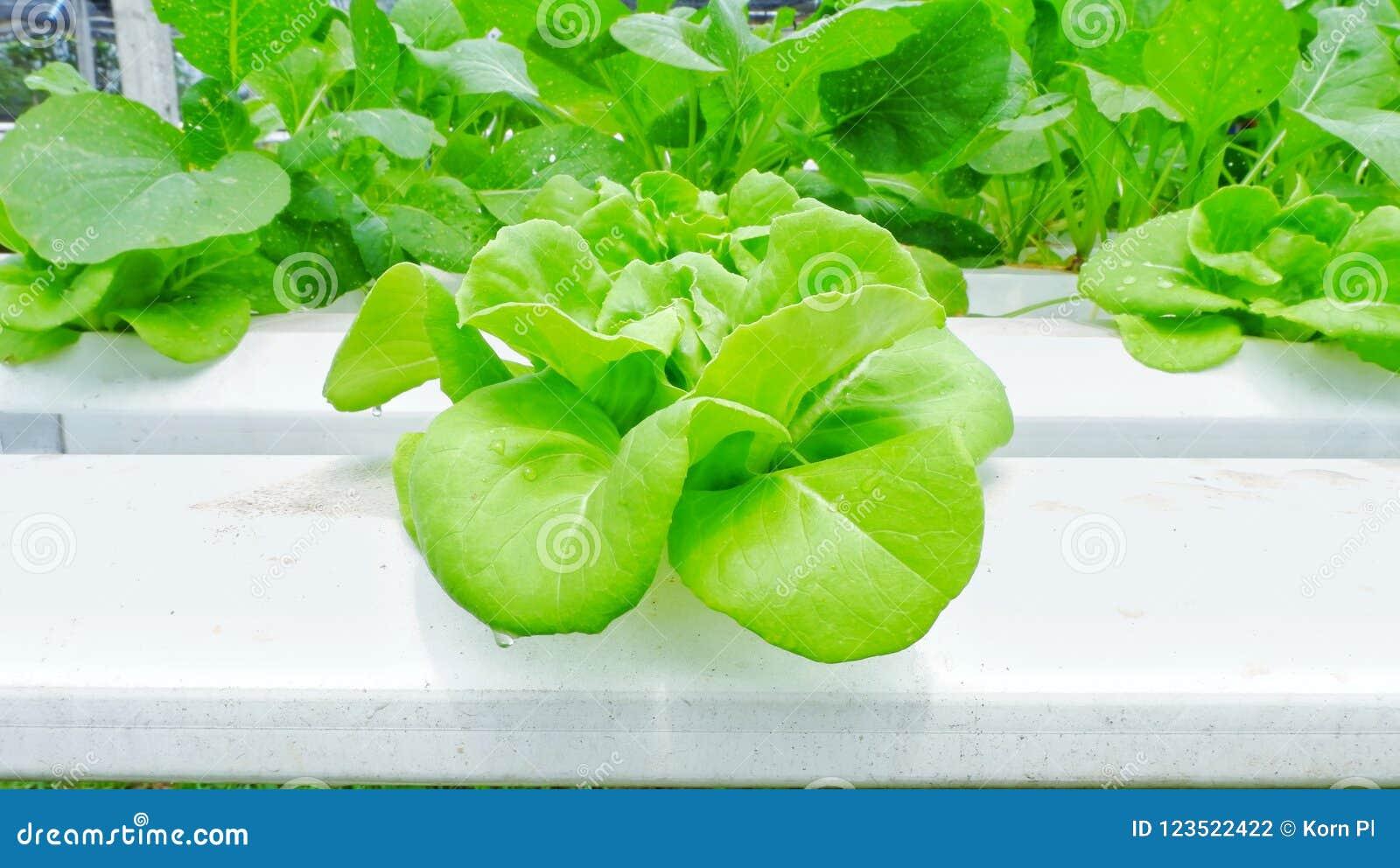 Grön smörhuvudsallad i organisk lantgård