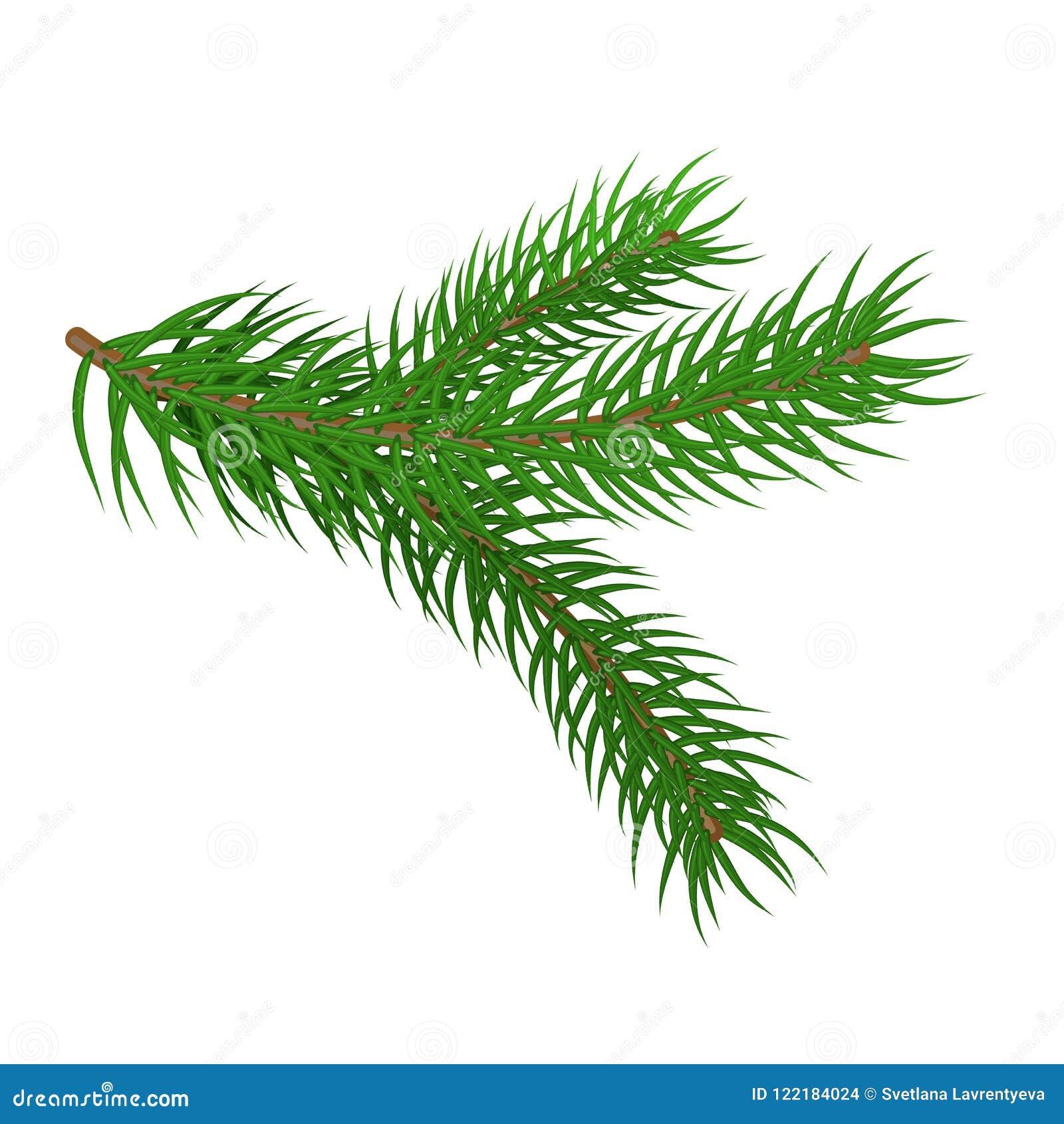 Grön spruce för filial Granfilialer Isolerat på den vita vektorilluen