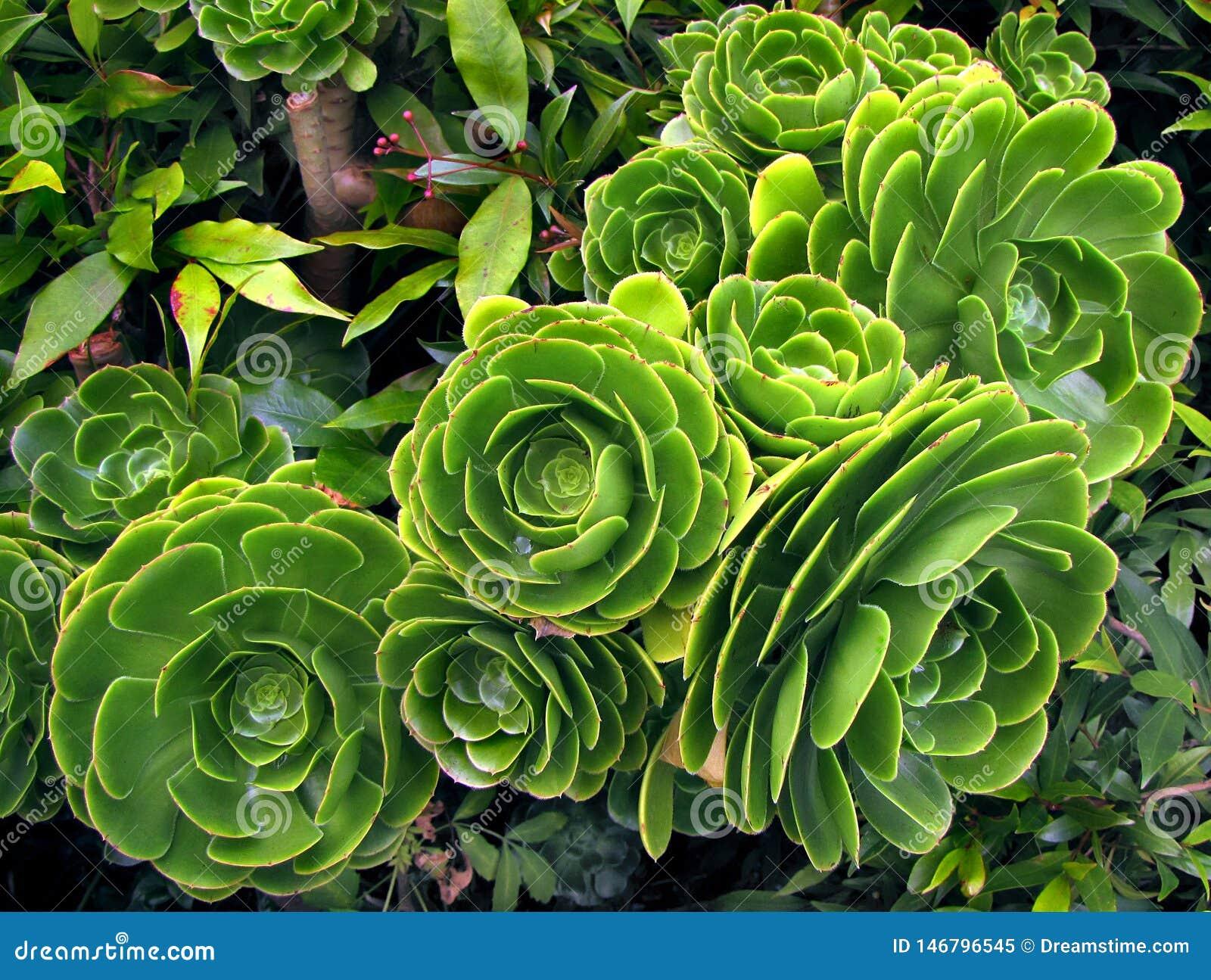 Grön suckulent växtaeoniumarboreum