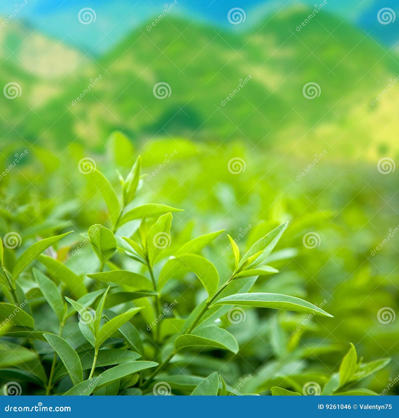 Grön tea för buske
