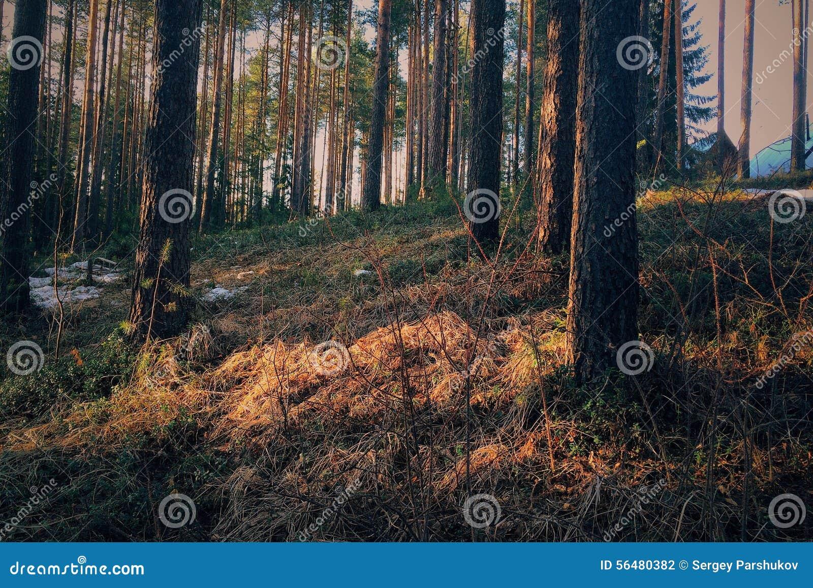 Grön vårskog i solstrålar