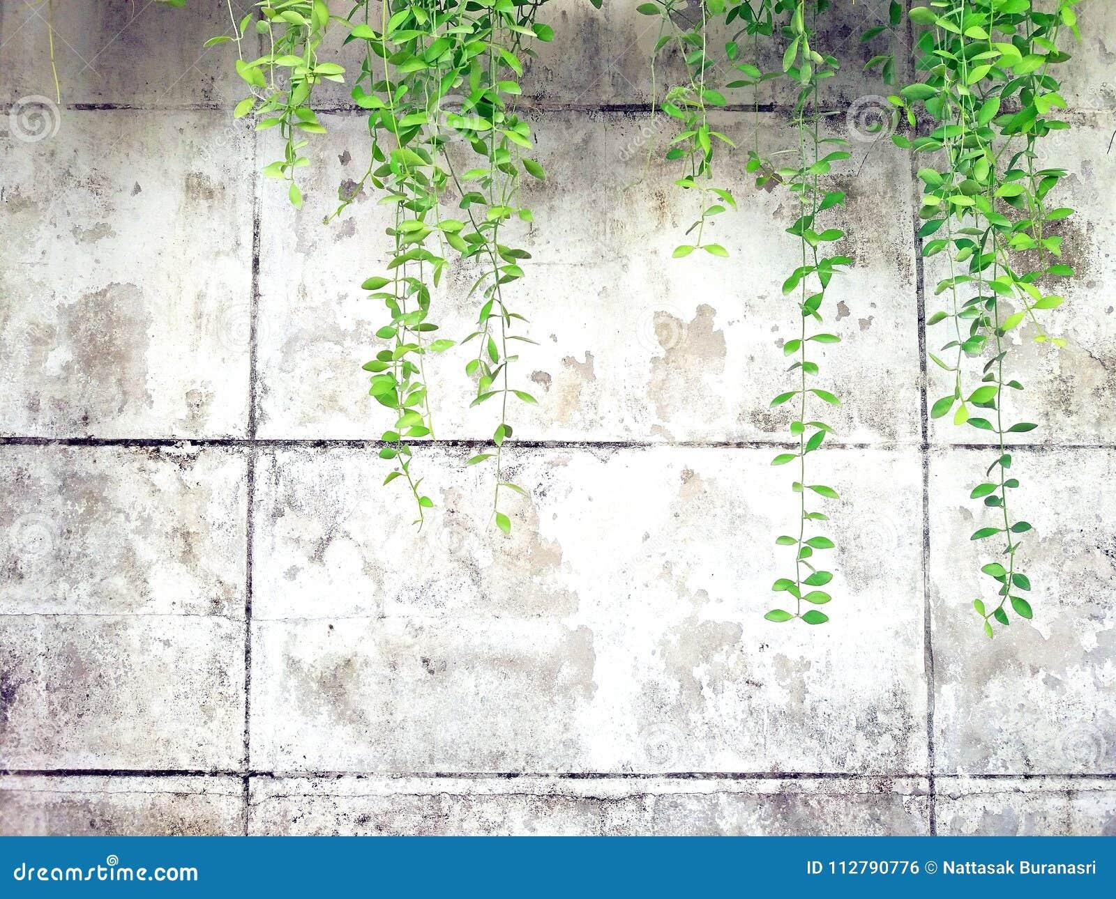 Grön vinranka, lian eller för krypa växt på gammalt vitt cement eller abstrakt väggbakgrund för grunge med kopieringsutrymme