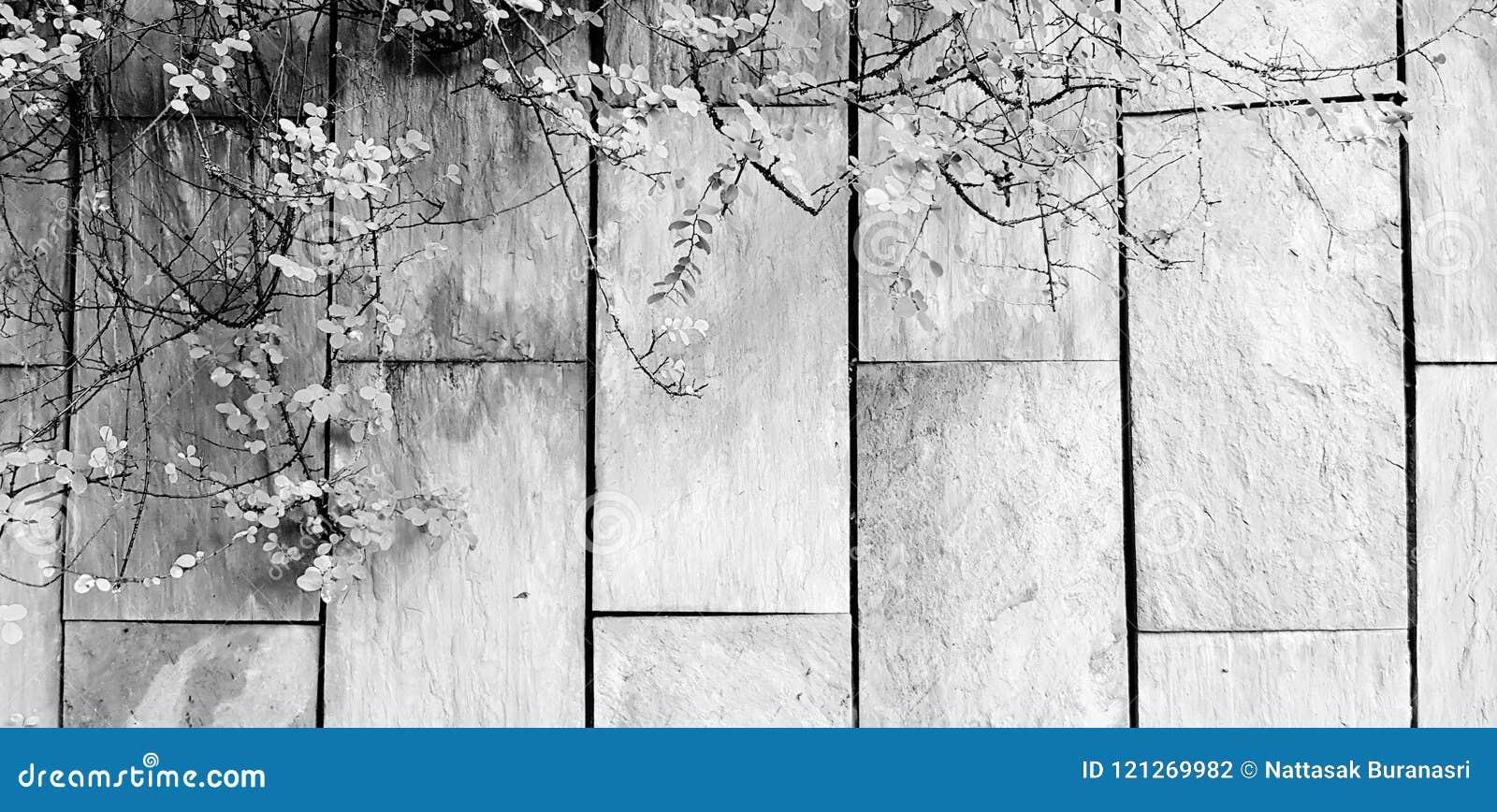 Grön vinranka, murgröna eller krypa växttillväxt på den grova gråa väggbakgrunden med kopieringsutrymme i svartvit stil
